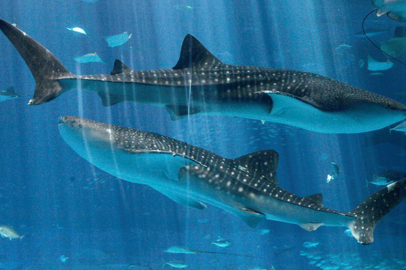 Whale sharks swim at Okinawa Churaumi Aquarium in Motobu town on Japan's southern island of Okinawa July 9, 2007. (Reuters Photo)