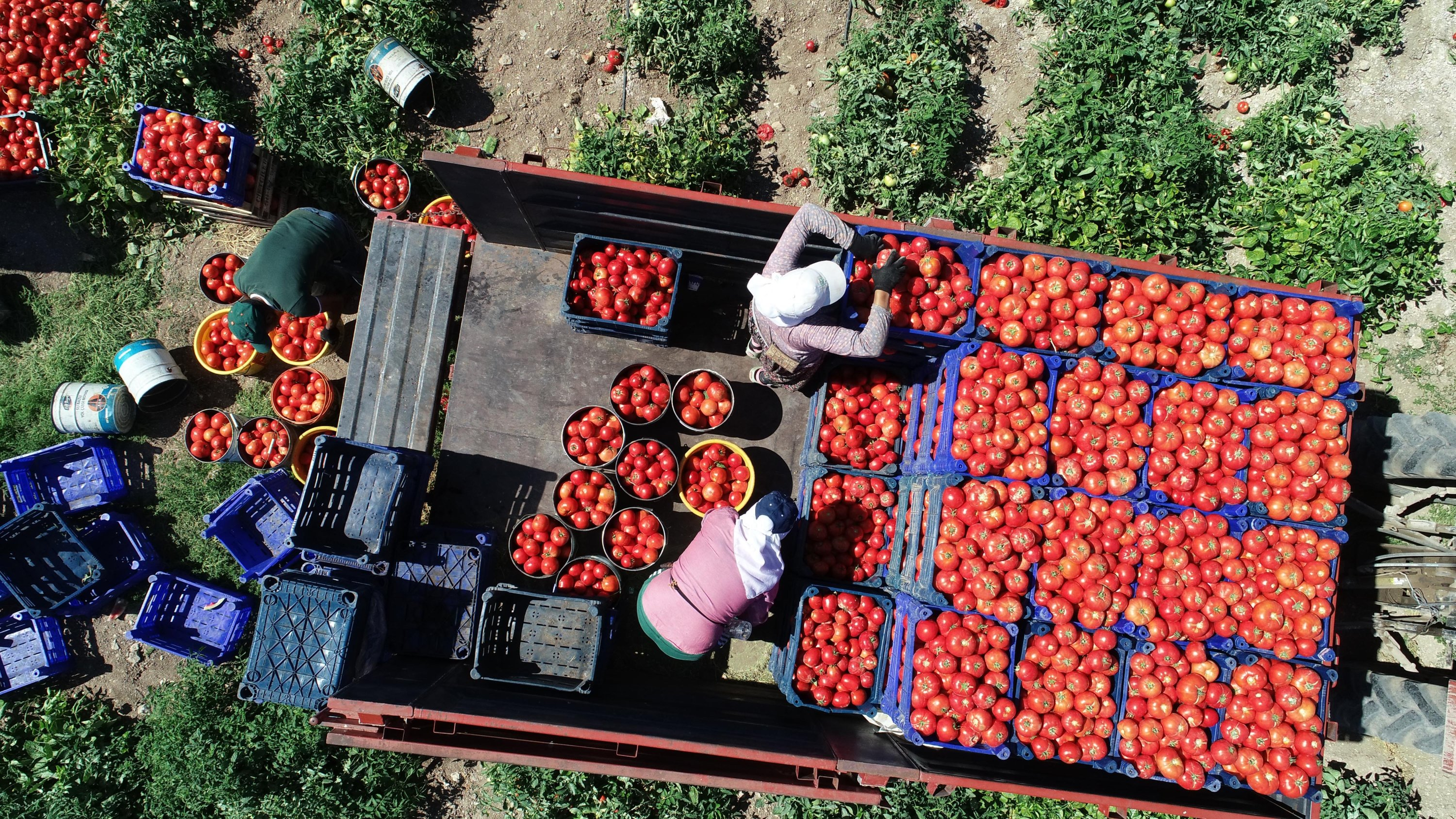 Crates of fresh tomatoes are packed in Çanakkale, western Turkey, Aug. 25, 2020. (DHA Photo)