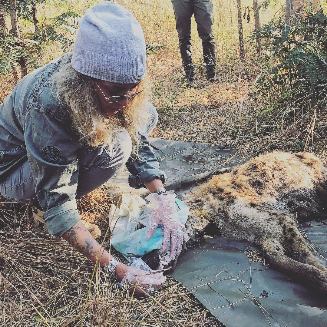 Aslı Han Gedik, founder of Wild at Life watchdog, inspects the teeth of a wild animal during preservation efforts.