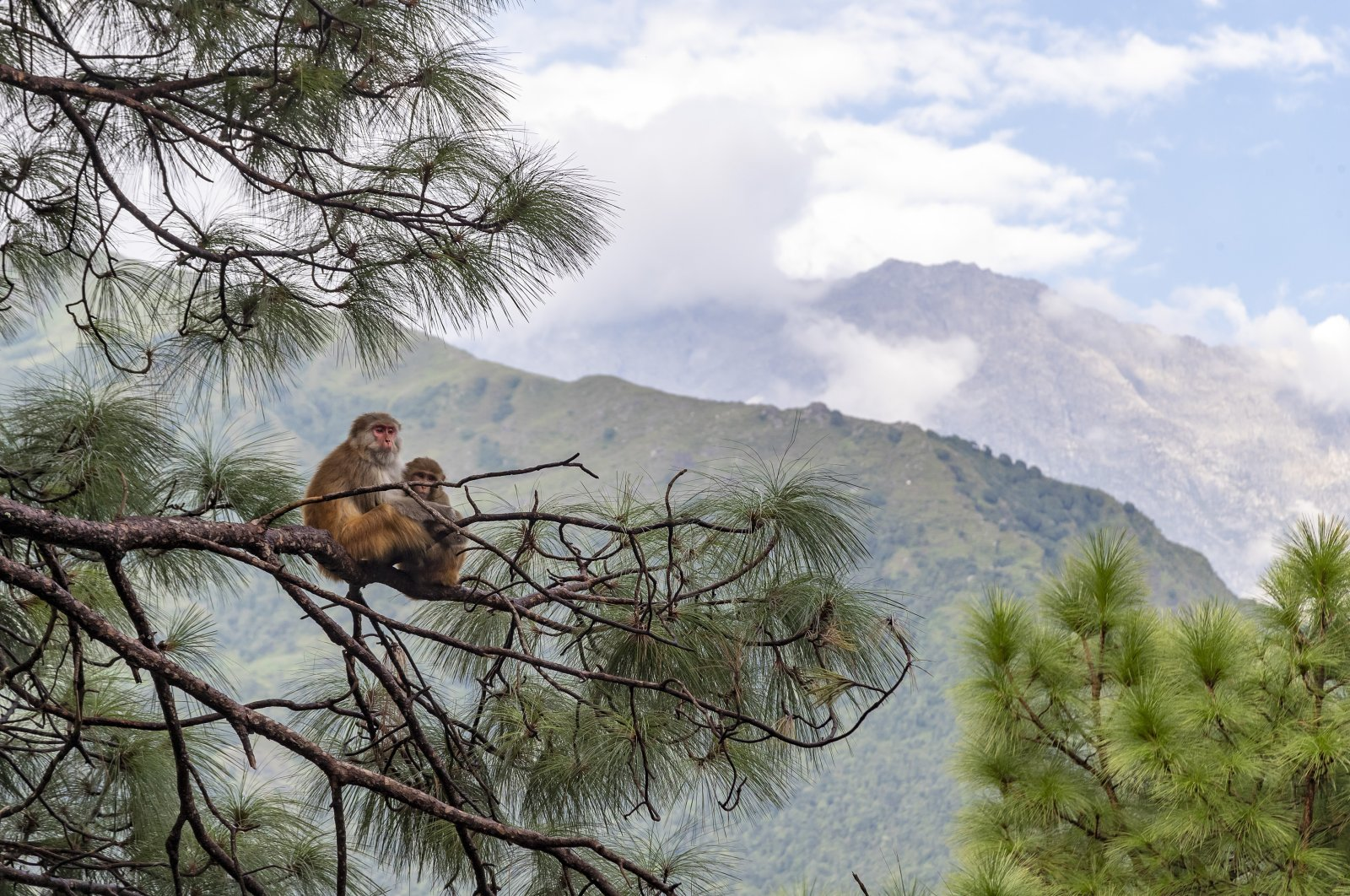 A pair of macaques sit on a pine tree against a backdrop of the Dhauladhar range of the Himalayas in Dharmsala, India, Friday, Sept. 11, 2020. (AP Photo)