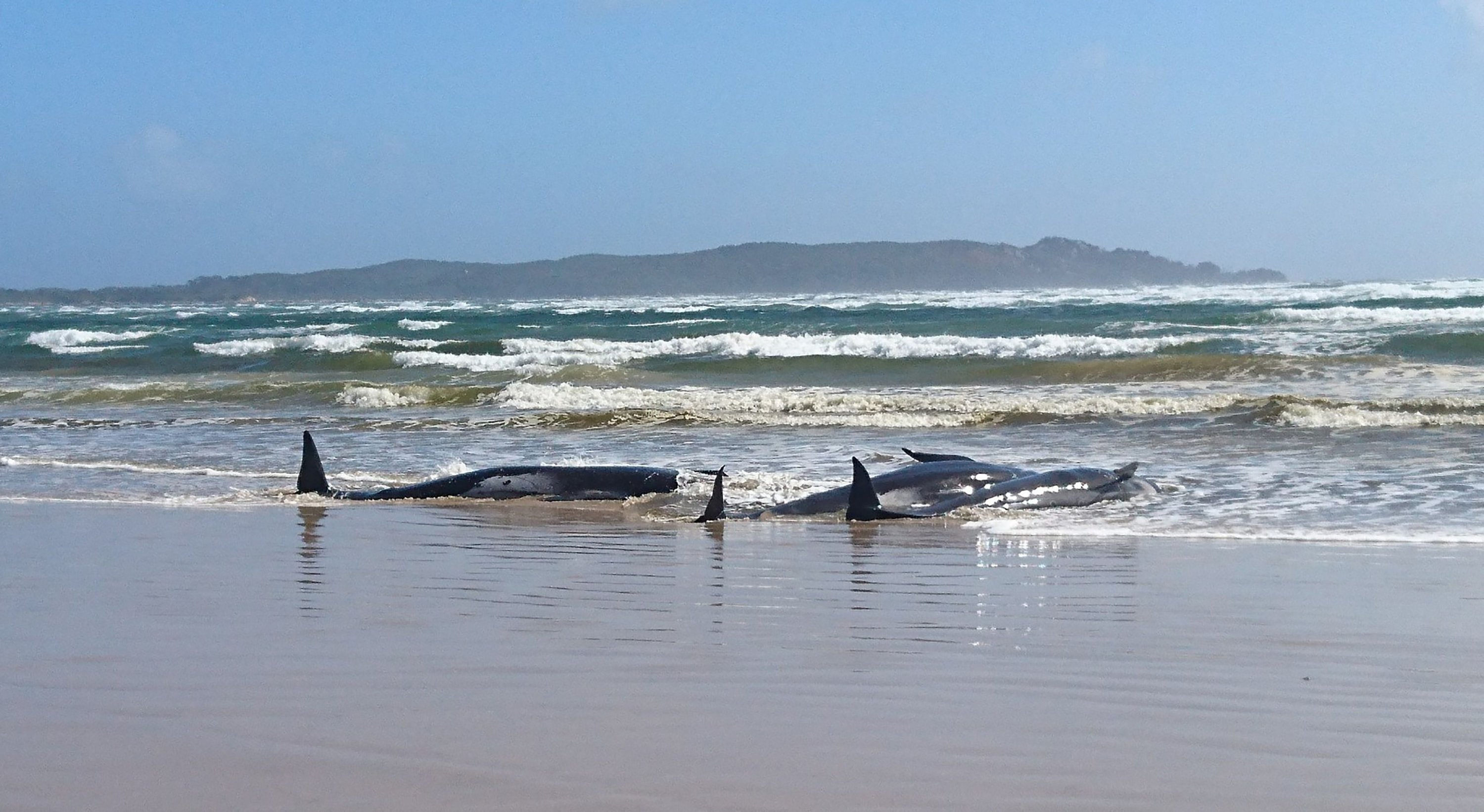 A handout photo taken and released by the Tasmania Police shows whales stranded on a sandbar in Macquarie Harbour on the rugged west coast of Tasmania, Sept. 21, 2020 (TASMANIA POLICE / AFP Photo)
