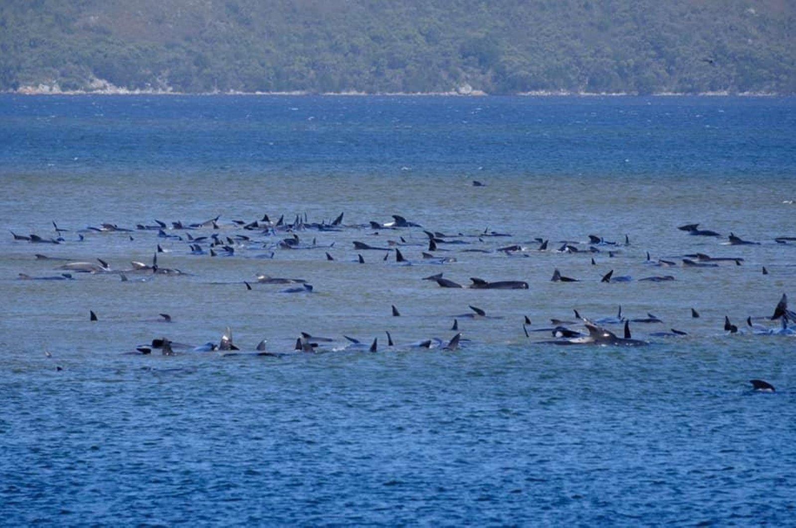 Around 270 whales stranded on sandbar off Australia's island of Tasmania |  Daily Sabah