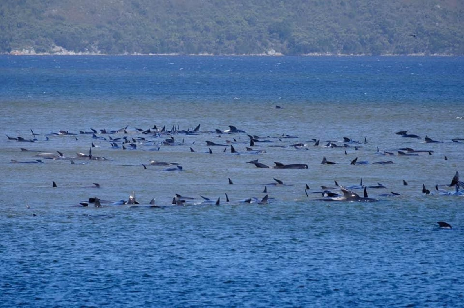 Stranded pilot whales are seen in Macquarie Heads in this picture obtained from social media, Tasmania, Australia Sept. 21, 2020. (RYAN BLOOMFIELD/via Reuters)