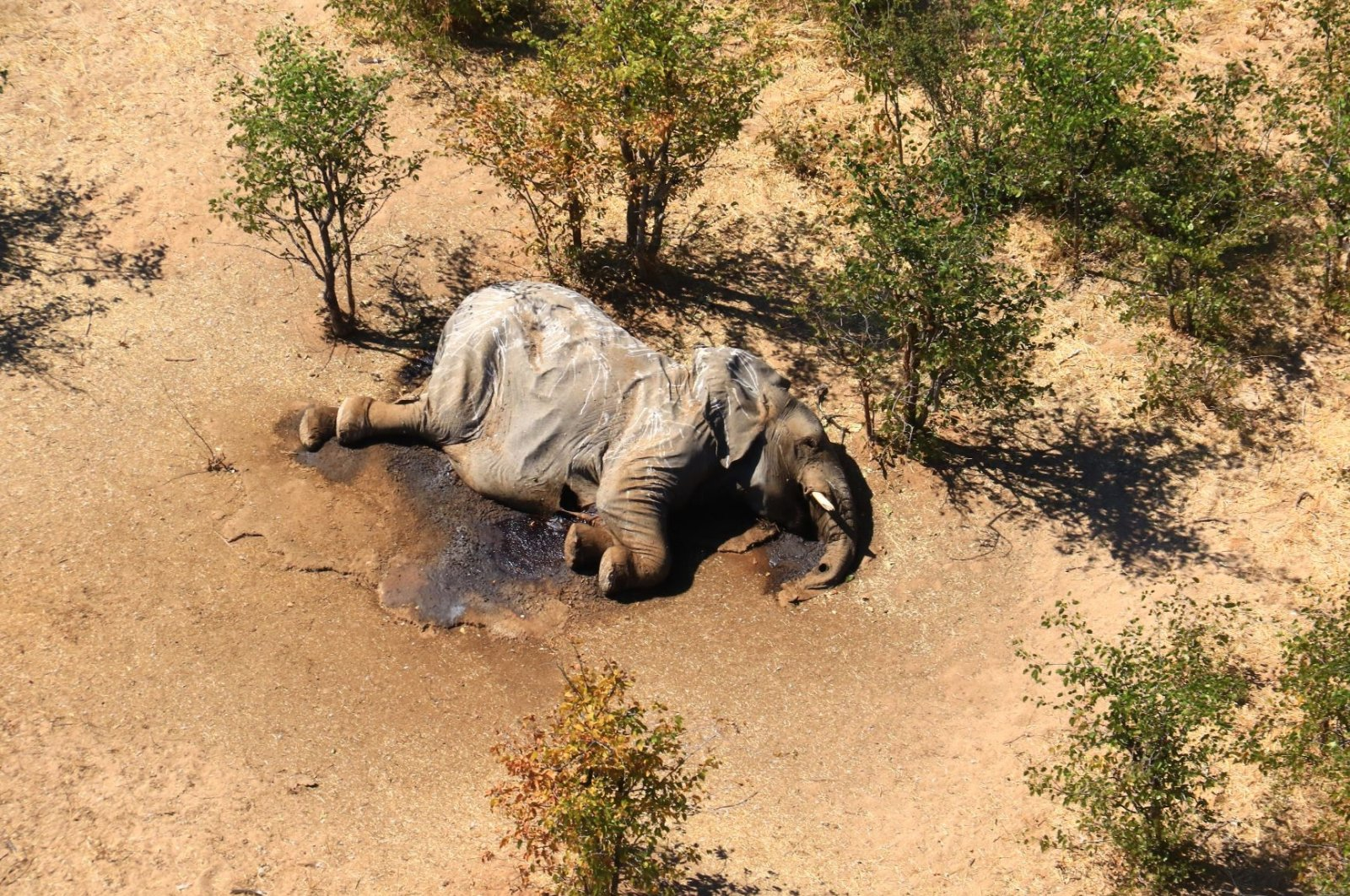 Aerial view of the carcass of one of the approximately 350 elephants that have been found dead for unknown reasons in the Okavango Delta area, near the town of Maun, northern Botswana, July 3, 2020. (EPA-EFE Photo)