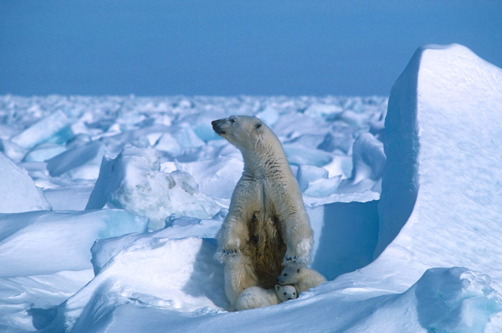 A polar bear with its cubs sits in the sea ice, northeast of Prudhoe Bay in Alaska, U.S., in 1985, in this file handout photo made available on July 17, 2020. (Photo by Steven C. Amstrup/Polar Bears International via AFP)