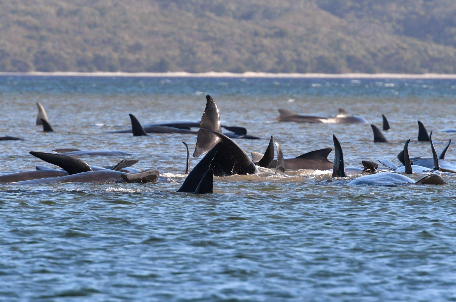 Pilot whales lie stranded on a sand bar near Strahan, Australia, Sept. 21, 2020. (AP Photo)