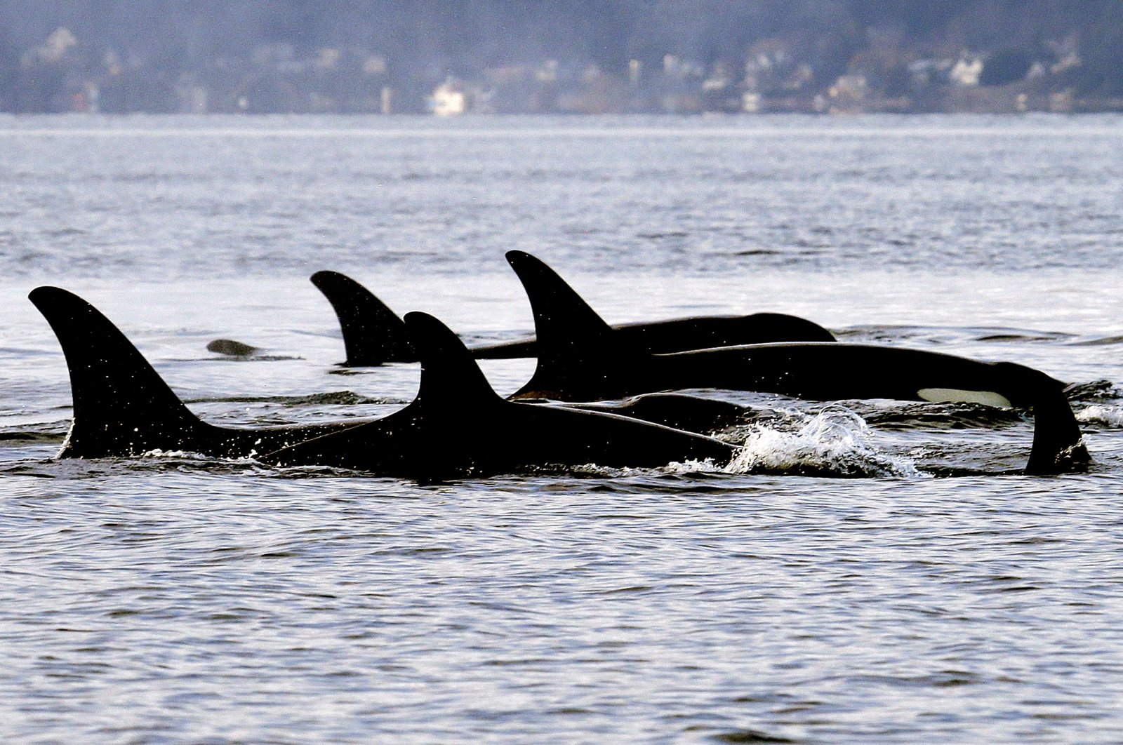 In this Jan. 18, 2014, file photo, endangered orcas from the J pod swim in Puget Sound west of Seattle, U.S., as seen from a federal research vessel that had been tracking the whales. (AP Photo)