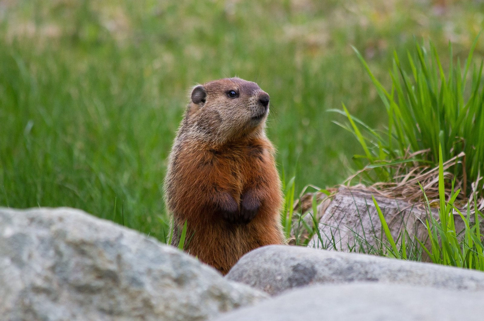 A marmot explores Yellowstone National Park, U.S., March 30, 2020. (Reuters File Photo)