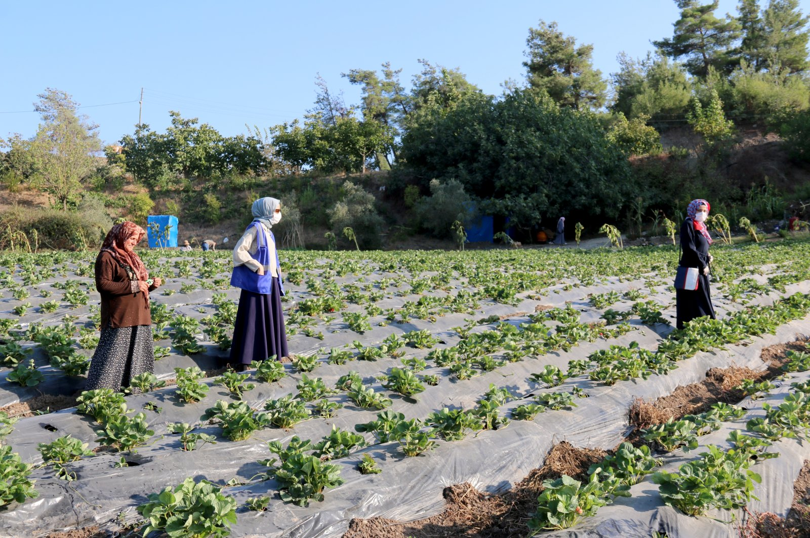 Syrian women stand among crops within the scope of the agricultural support program launched by international aid organization Islamic Relief for Syrian families living in Turkey's southern Hatay province, Sept. 24, 2020. (AA Photo)