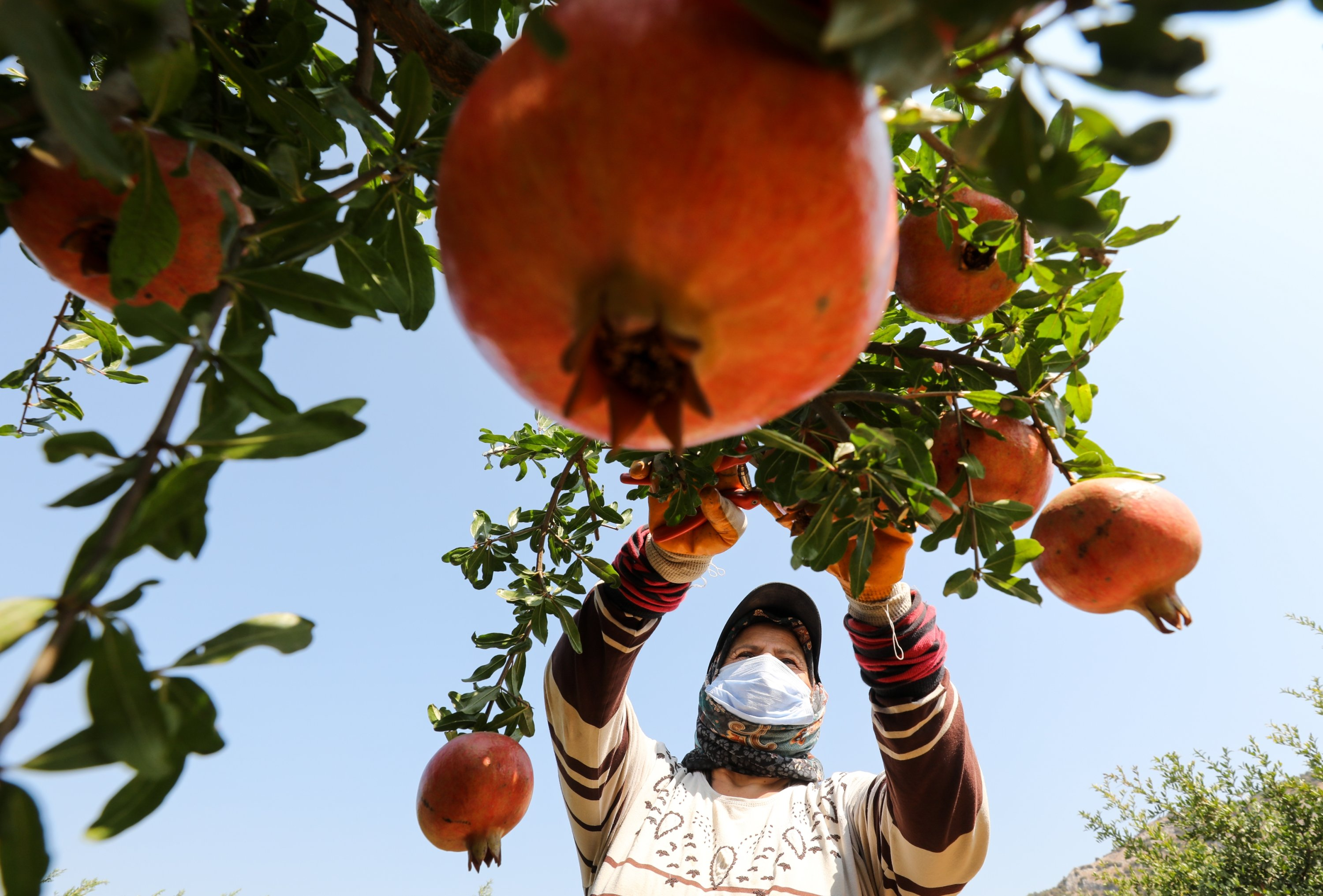 A woman collects pomegranates from trees in Izmir's Selçuk district, Sept. 22, 2020. (AA Photo)