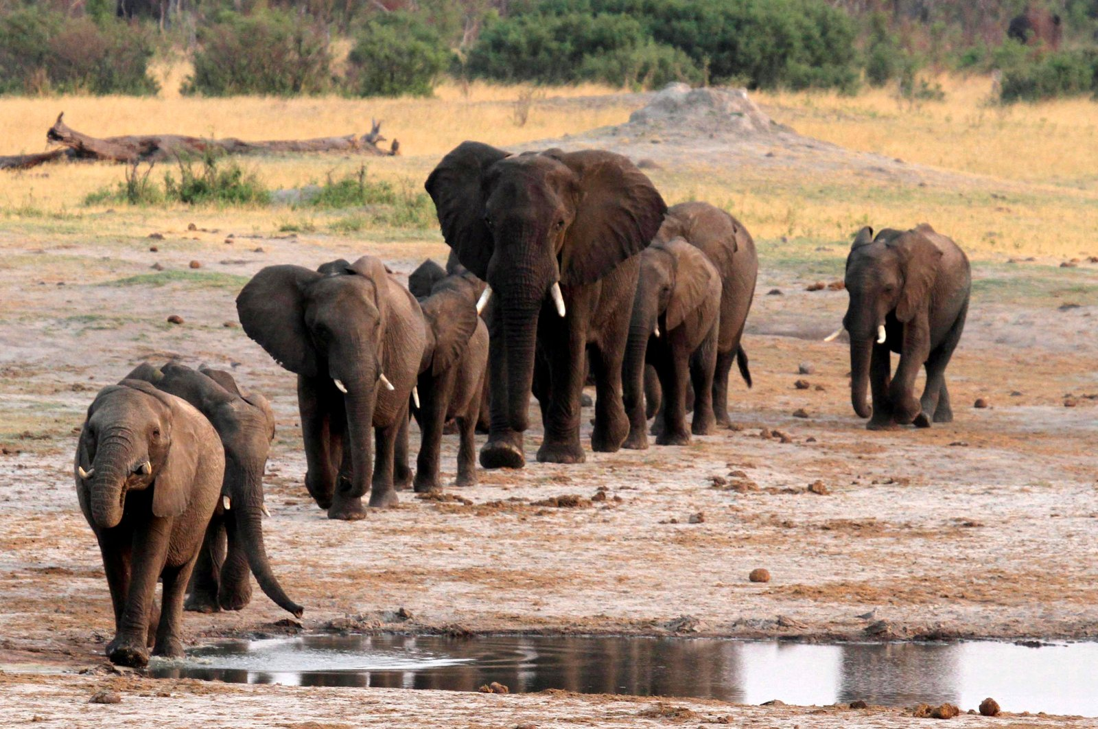 A herd of elephants walk past a watering hole in Hwange National Park, Zimbabwe, Oct. 14, 2014. (REUTERS Photo)