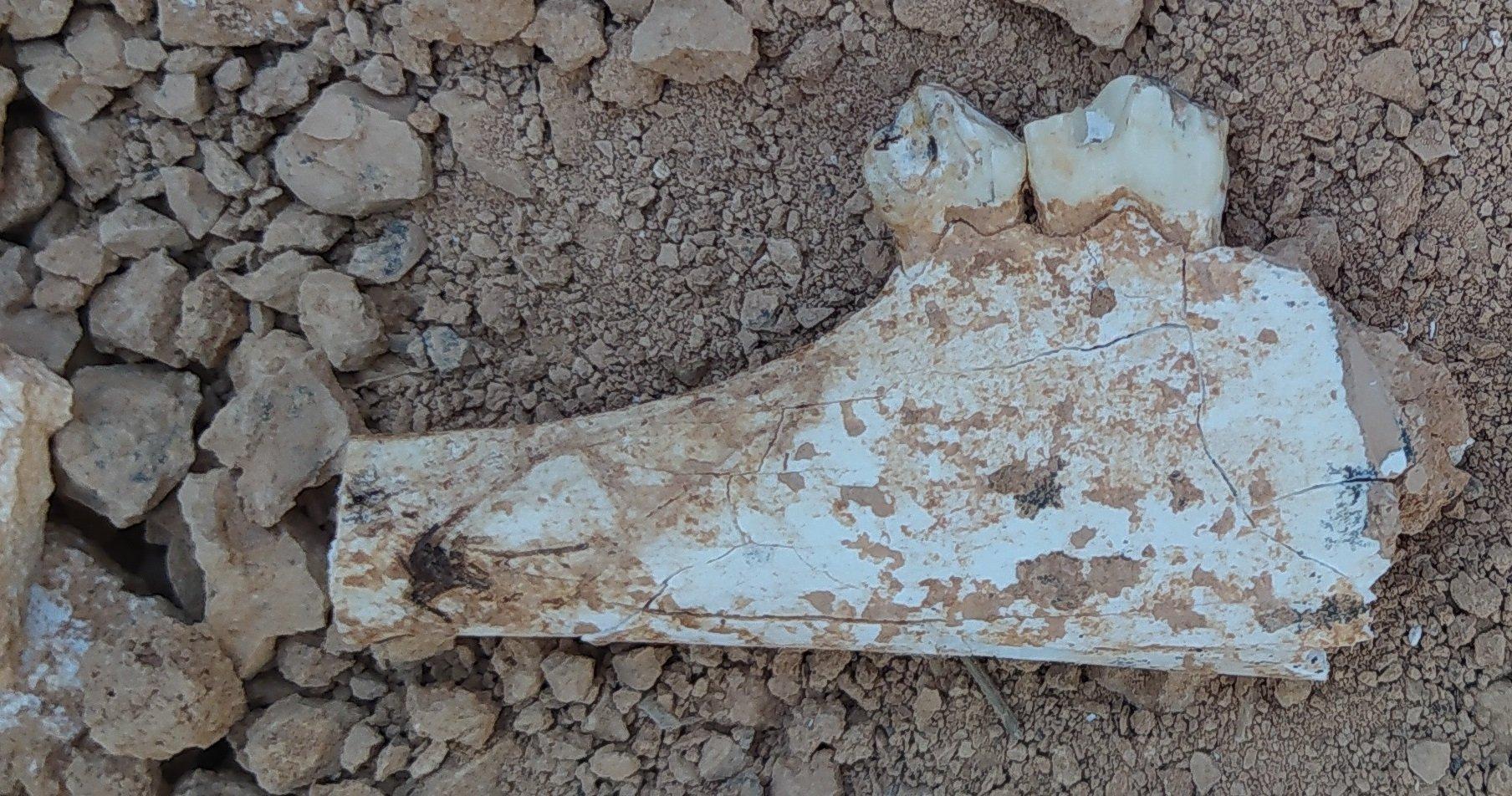 A fossil found during the surface surveys in Denizli, southwestern Turkey, Sept. 30, 2020. (AA PHOTO)