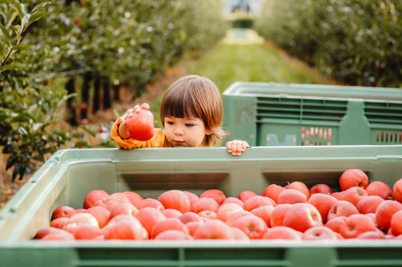 A weekend trip to your nearestappleorchard is a perfect day outdoors, especially for families with smaller kids. (iStock Photo)