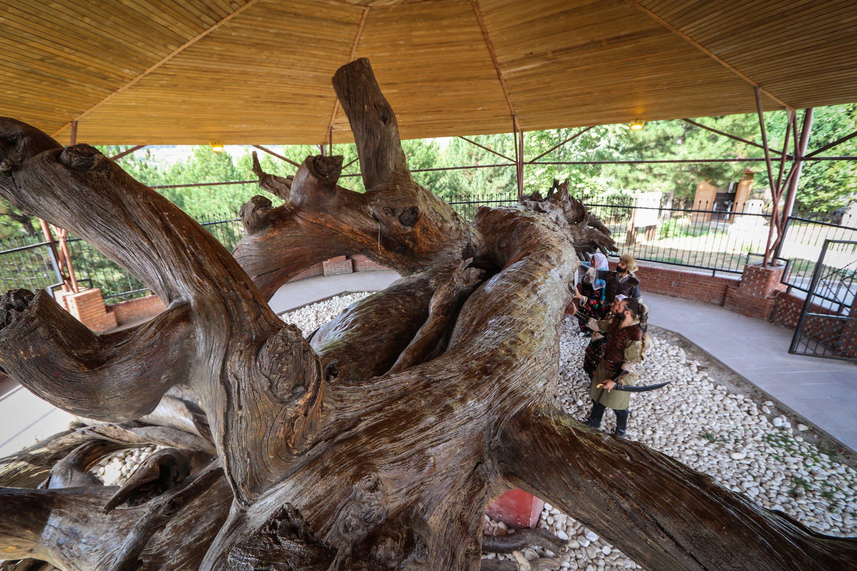 Bagian yang masih hidup dari Pinus Mızık, provinsi Kütahya, Turki barat, 1 Oktober 2020. (Foto AA)