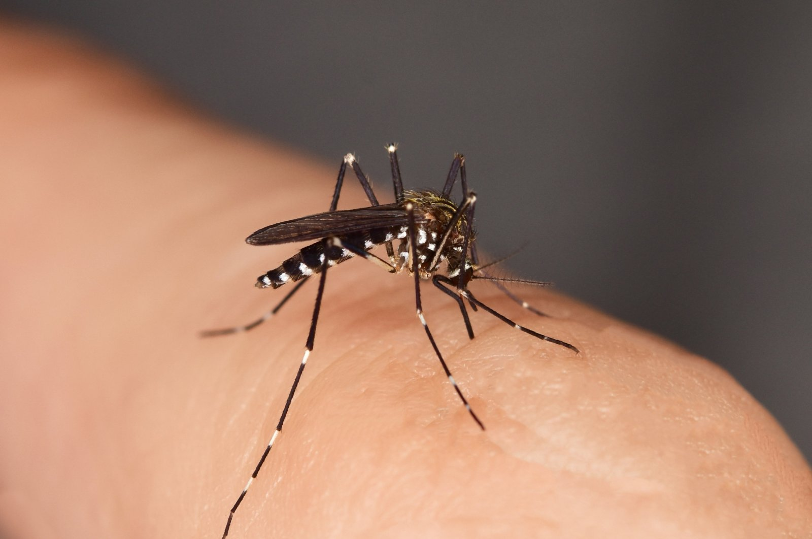 Asian tiger mosquitos can carry diseases ranging from Zika to dengue. (iStock Photo)