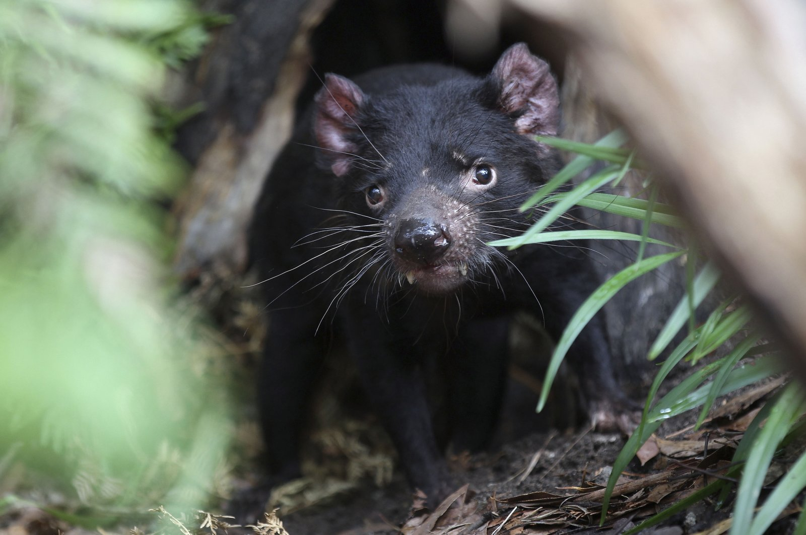 Big John the Tasmanian devil growls from the confines of his new treehouse as he makes his first appearance at the Wild Life Sydney Zoo in Sydney, Australia, Dec. 21, 2012. (AP Photo)