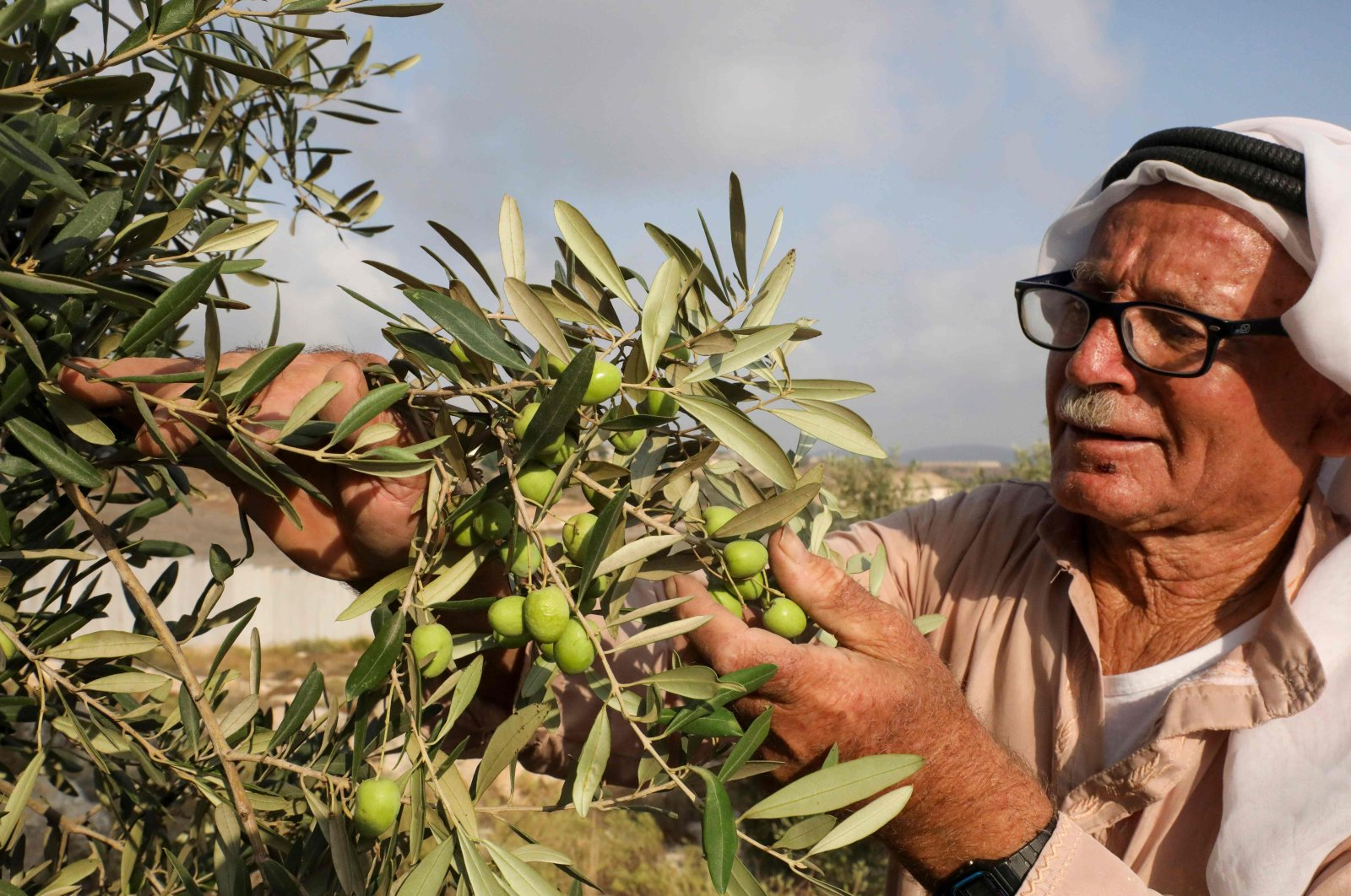 Palestinian farmer Abdel Hamid Sweity harvests olives from his trees in the West Bank village of Beit Awwa southwest of Hebron, near the Israeli separation barrier and the settlement of Sheqef (background), on Oct. 10, 2020. (AFP Photo)