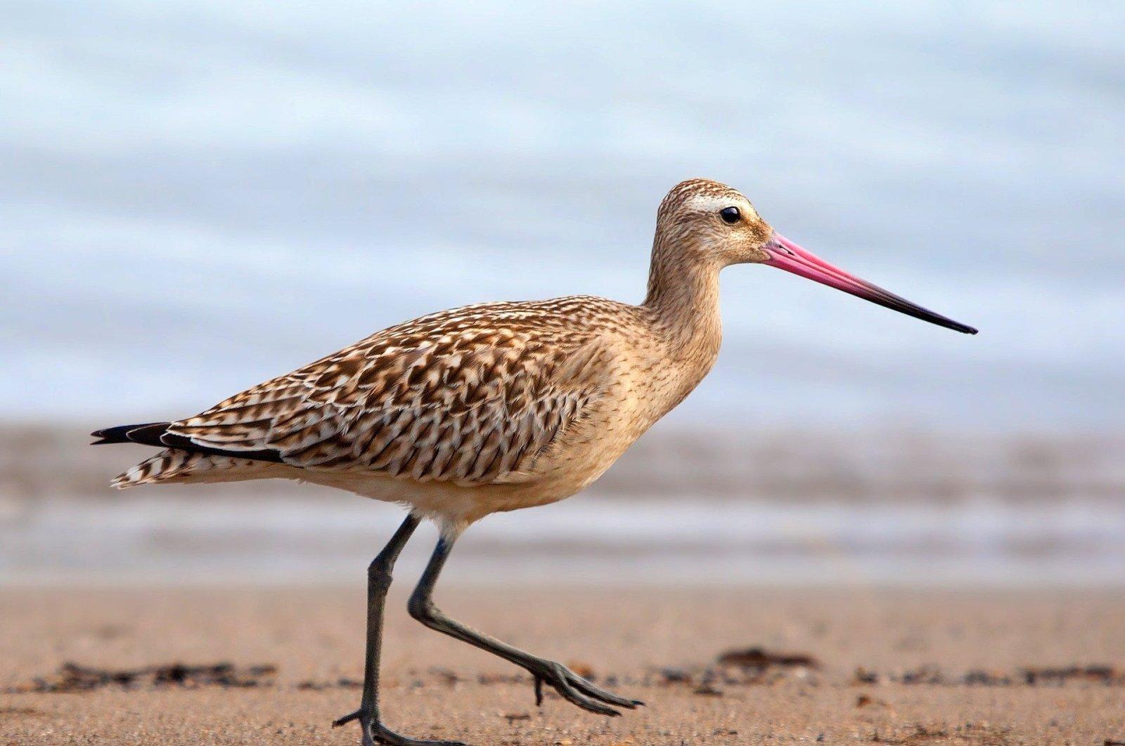 A bar-tailed godwit walks on a sandy beach. (Pixabay photo)