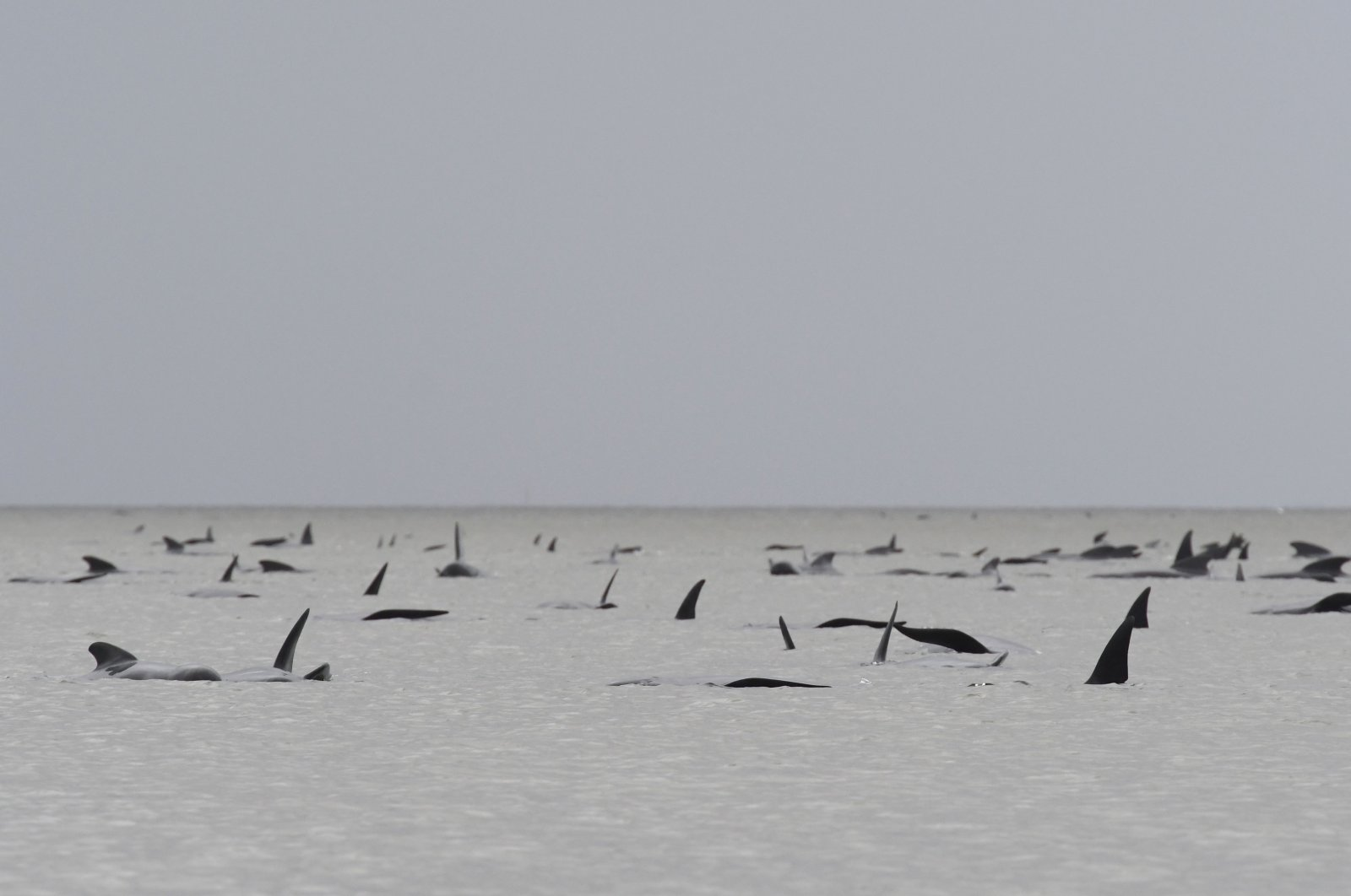A pod of whales seen stranded on a sandbar in Macquarie Harbour on the rugged west coast of Tasmania, Australia, Sept. 22, 2020. (AFP/Brodie Weeding/The Advocate)