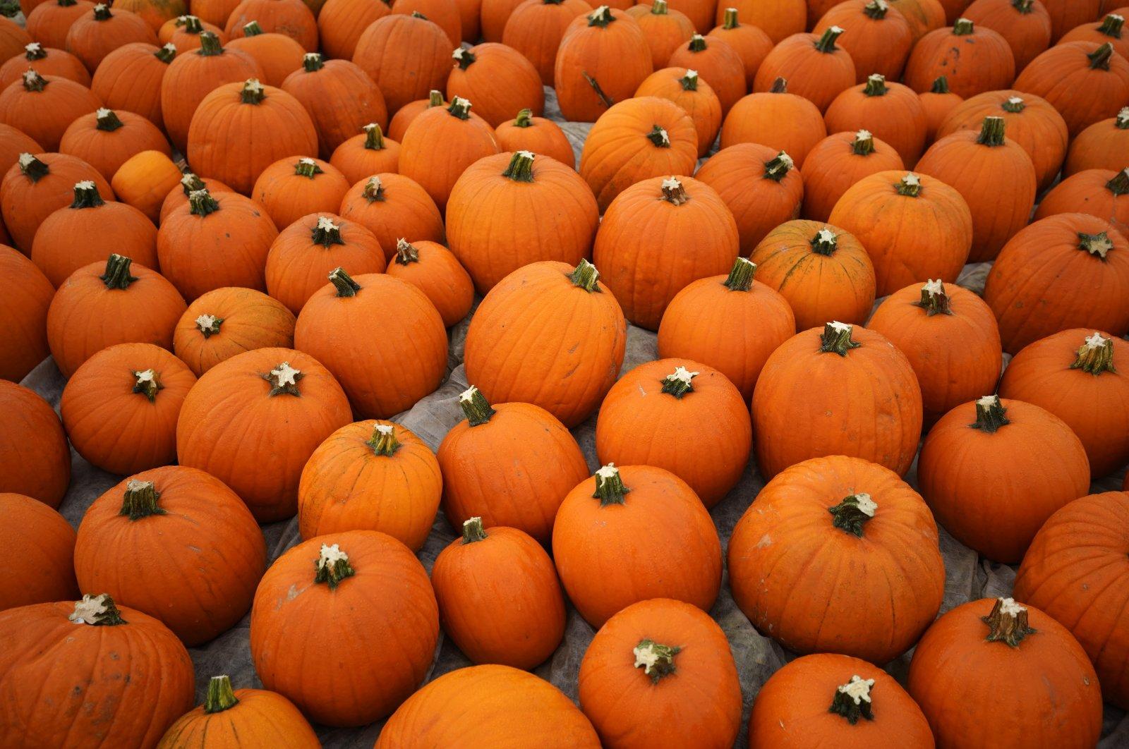 Pumpkins lay on a field near Mutterstadt, Germany, Oct. 14, 2020. (EPA Photo)
