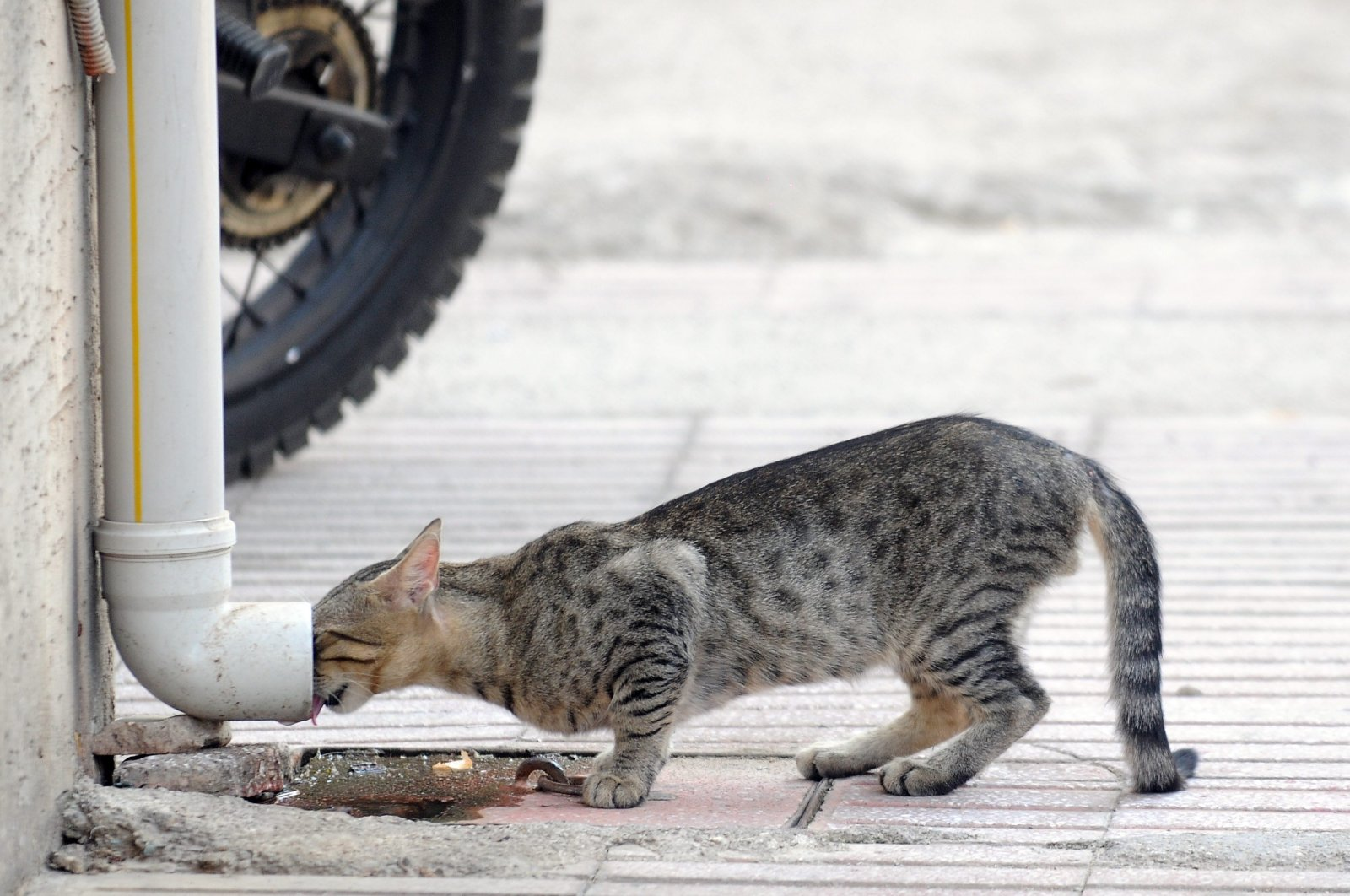 A stray cat tries to drink water from a drain pipe during a heatwave in Antalya, Turkey, Aug. 12, 2011. (Photo by Göksel Yapar)