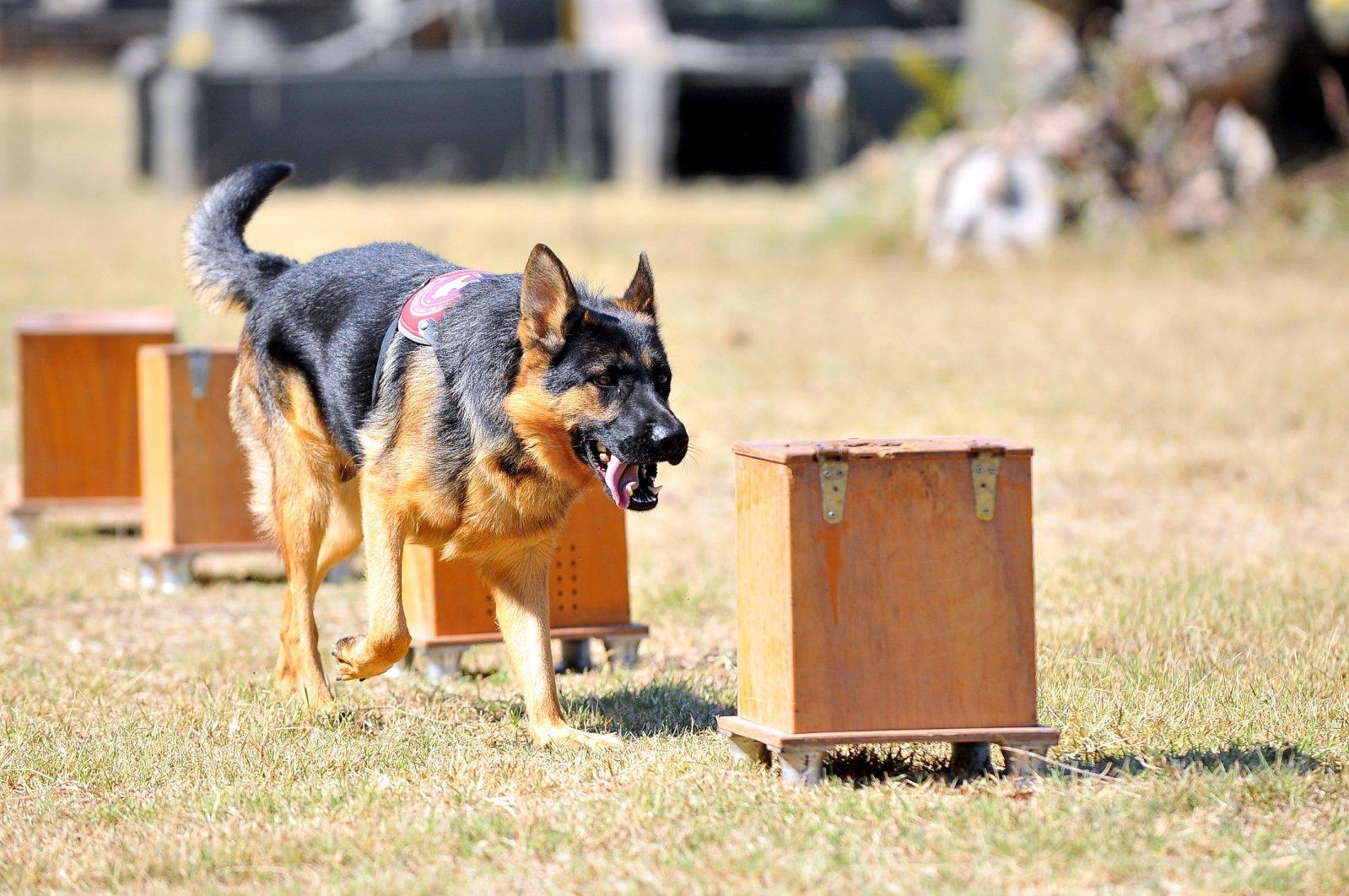 A dog during a training session, in Bursa, northwestern Turkey, Oct. 19, 2020. (DHA Photo)