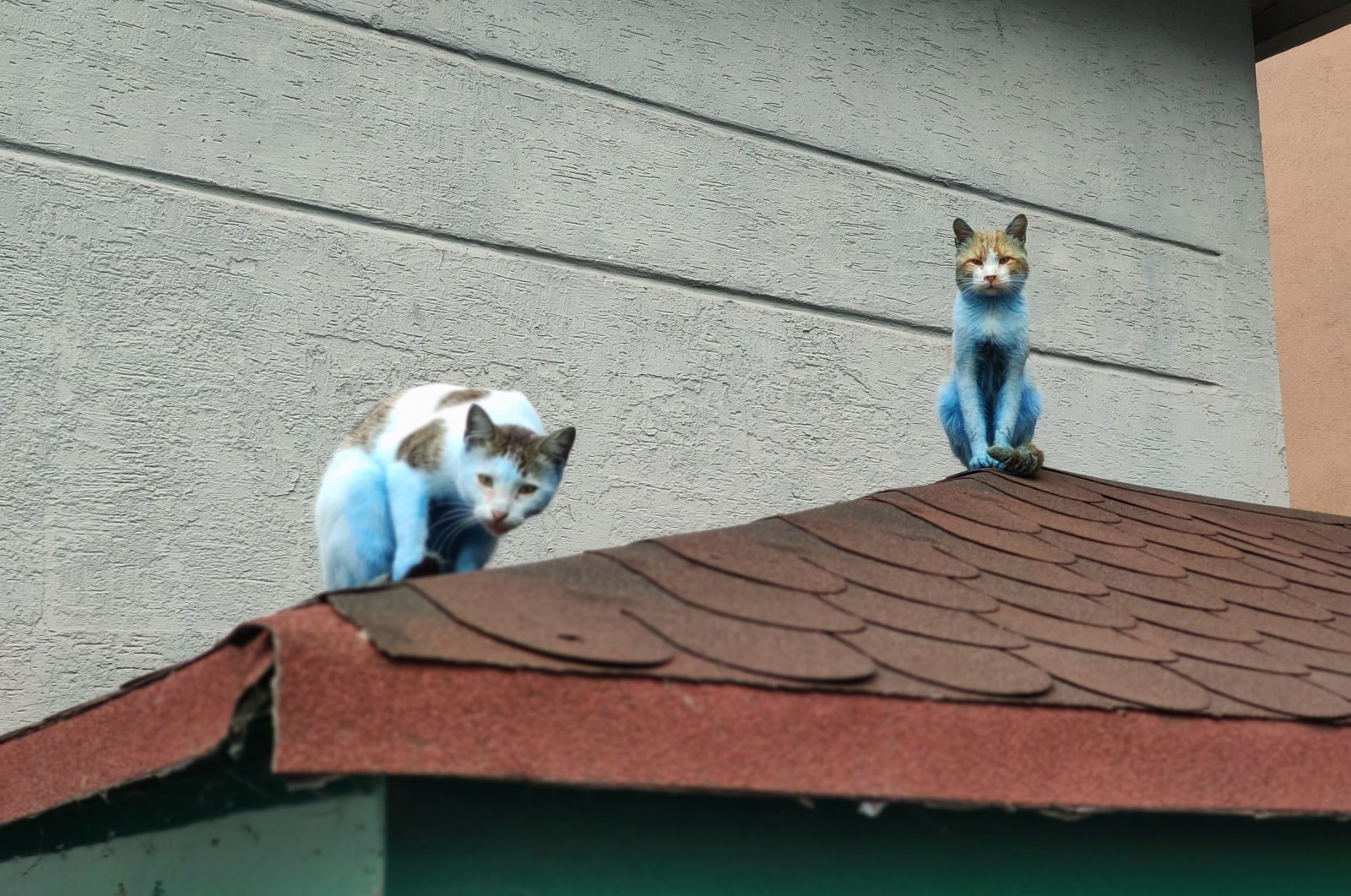 The blue cats spotted in Istanbul's Küçükçekmece distrcit were likened to smurfs by locals, Oct. 19, 2020. (IHA Photo)