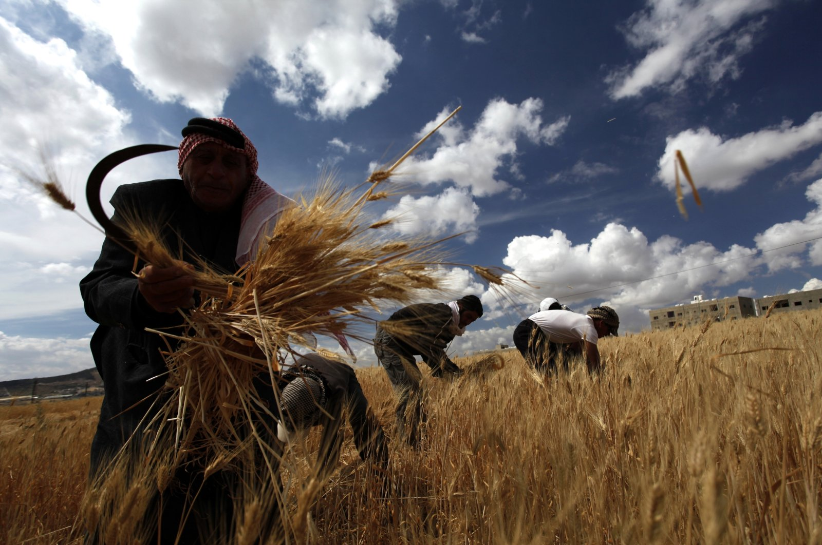 Wheat farmer Mohammed al-Kharabshy (L), 75, harvests his crops with the help of Syrian refugees Khaled, Khalaf, Madeh and Ali Bani Khaled, three brothers and their cousin, on the outskirts of Amman, Jordan, May 15, 2013.  (AP Photo)