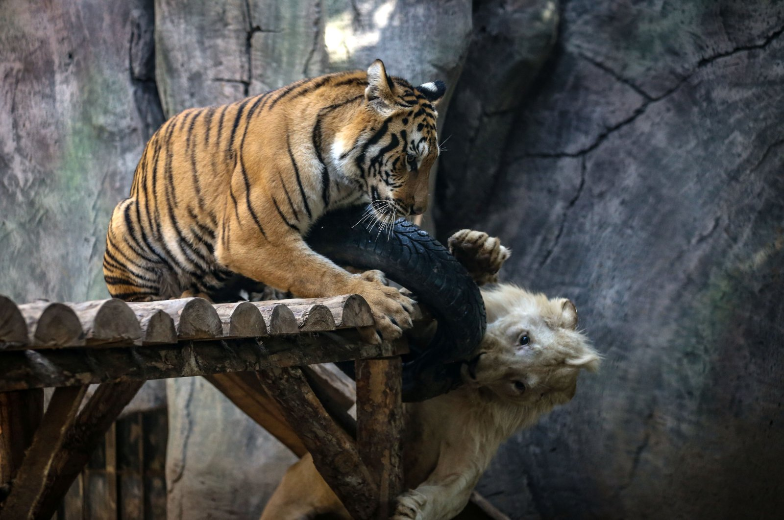 The white lion called Pamuk and the Bengal tiger called Toby became inseparable friends. (AA Photo)