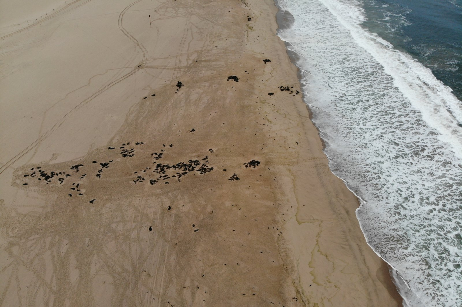Dead seal foetuses are seen near adult seals on a beach near Pelican Point, Namibia October 8, 2020. Picture taken with a drone on October 8, 2020. (Naude Dreyer/Ocean Conservation Namibia/Handout via Reuters)