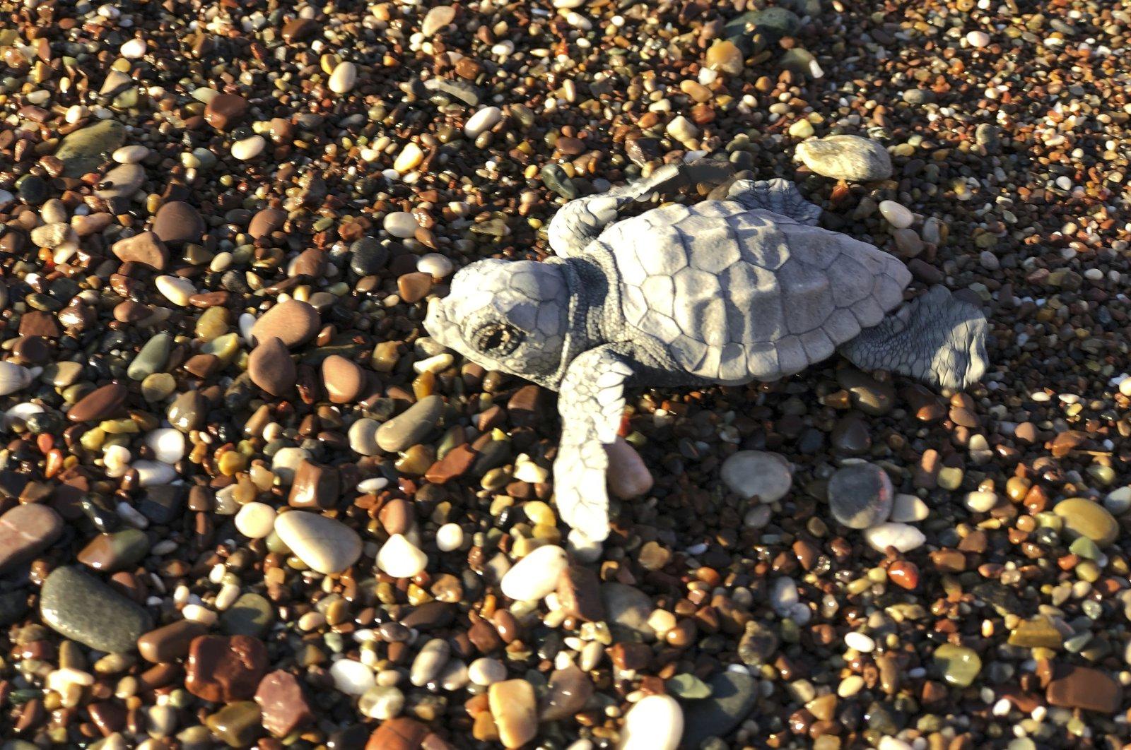 A baby loggerhead turtle (Caretta caretta) struggles to reach the Mediterranean Sea, in Adrasan, Antalya, Turkey, Aug. 11, 2019. (AP Photo)