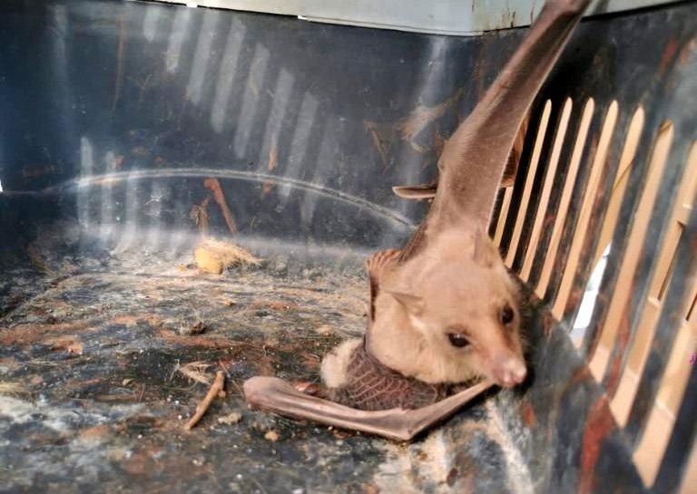 The vampire bat captured by locals, in Mersin, southern Turkey, Nov. 2, 2020. (DHA Photo)
