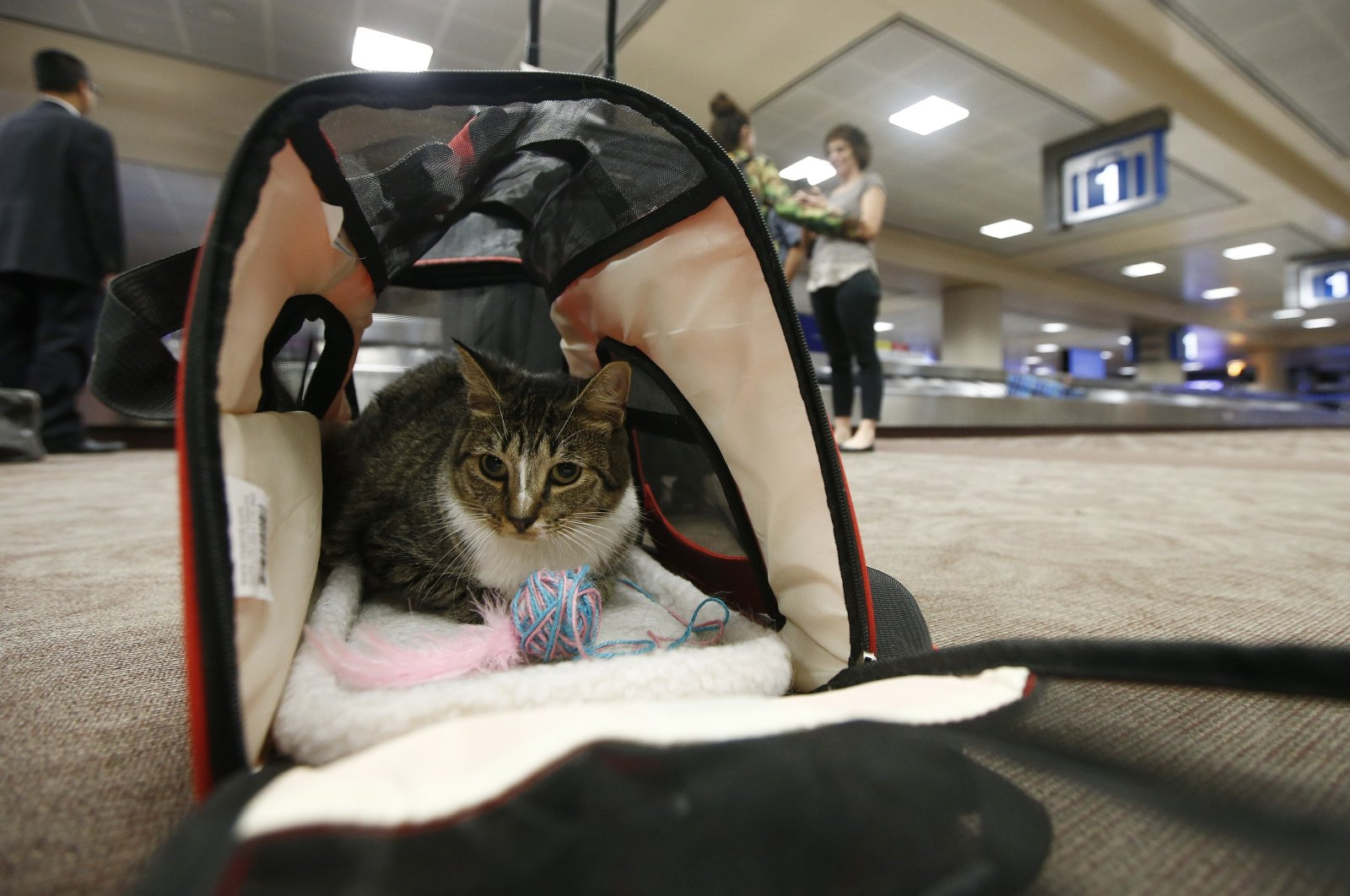 In this file photo, Oscar the cat sits in his carrier after arriving at Phoenix Sky Harbor International Airport in Phoenix, Sept. 20, 2017. (AP Photo)