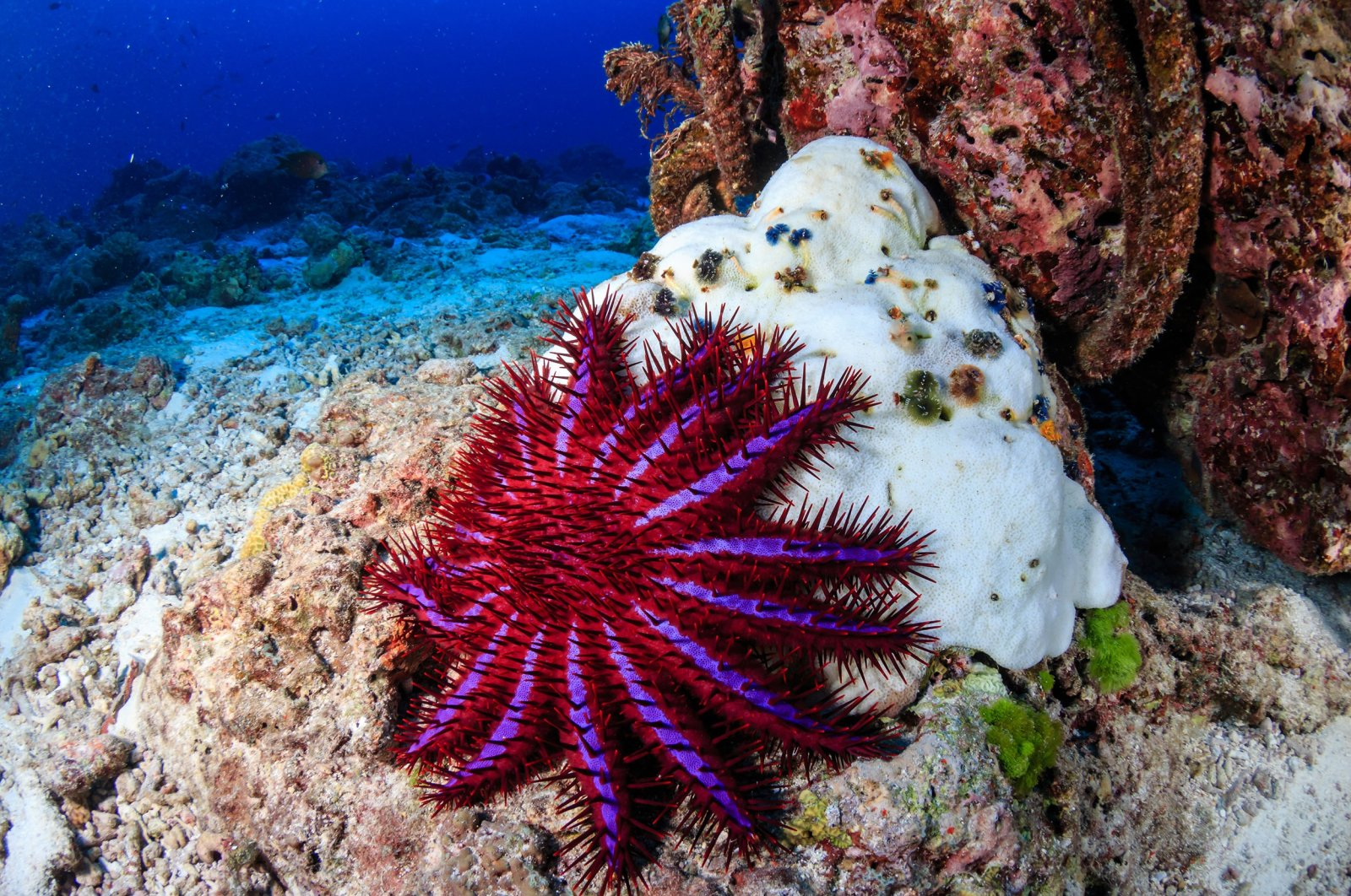 A crown-of-thorns starfish feeding on a bleached, dead hard coral on a tropical reef. (Shutterstock Photo)