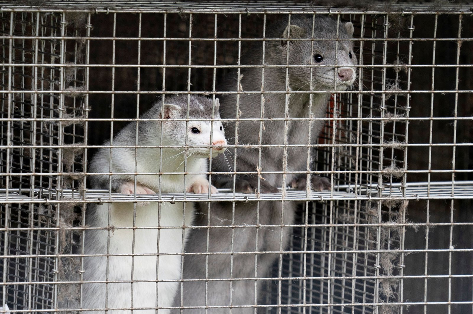 Caged minks look on after police officers arrived at Thorbjorn Jepsen's mink farm, amid the coronavirus disease (COVID-19) outbreak, in Gjoel, Denmark, Oct. 9, 2020. (Reuters Photo)
