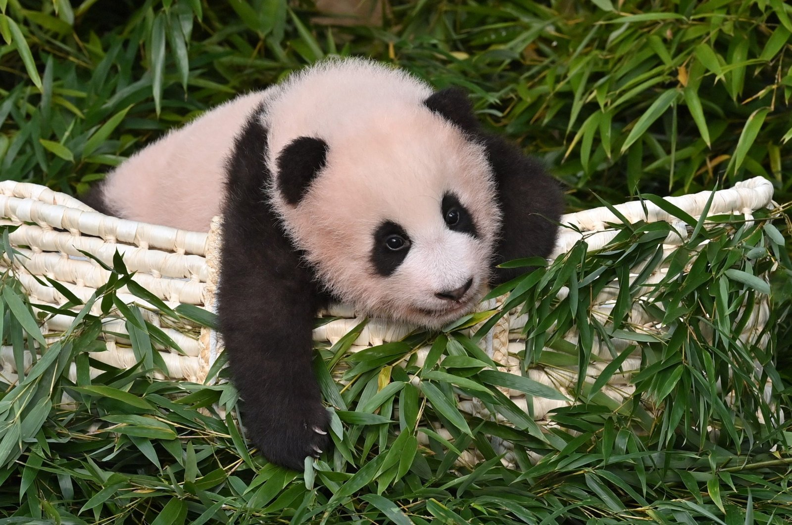 Panda cub Fu Bao, who was born 107 days ago in South Korea, is pictured during a ceremony to reveal her name at Everland Amusement and Animal Park in Yongin on Nov. 4, 2020. (AFP Photo)