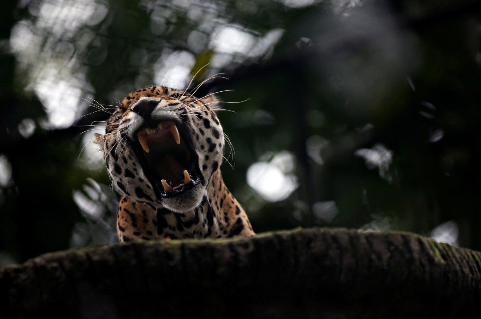A jaguar yawns inside a cage at Santa Cruz Zoo, amid the outbreak of coronavirus disease in San Antonio del Tequendama, Colombia, April 8, 2020. (Reuters Photo)