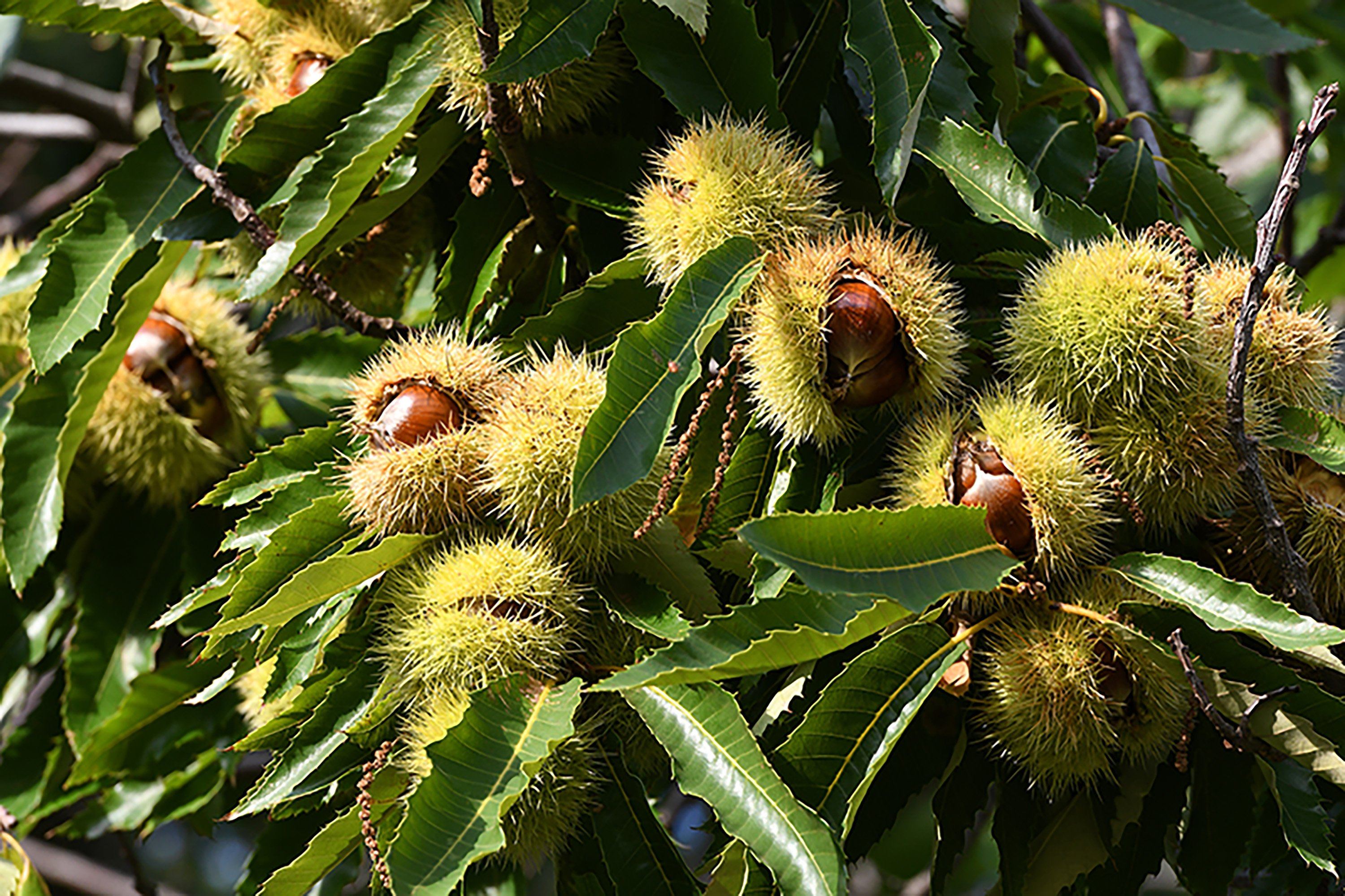 Chestnuts are covered in spiny husks called burrs. (Shutterstock Photo)