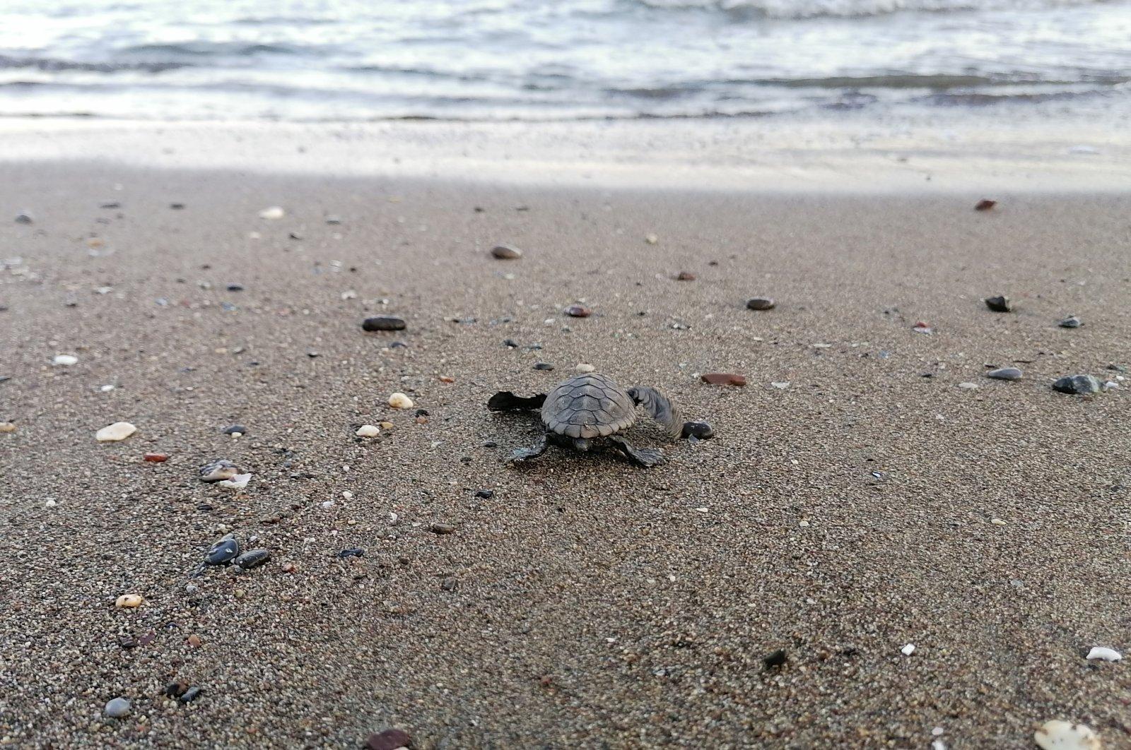 Thousands of baby turtles reach sea from undisturbed beaches in Turkey