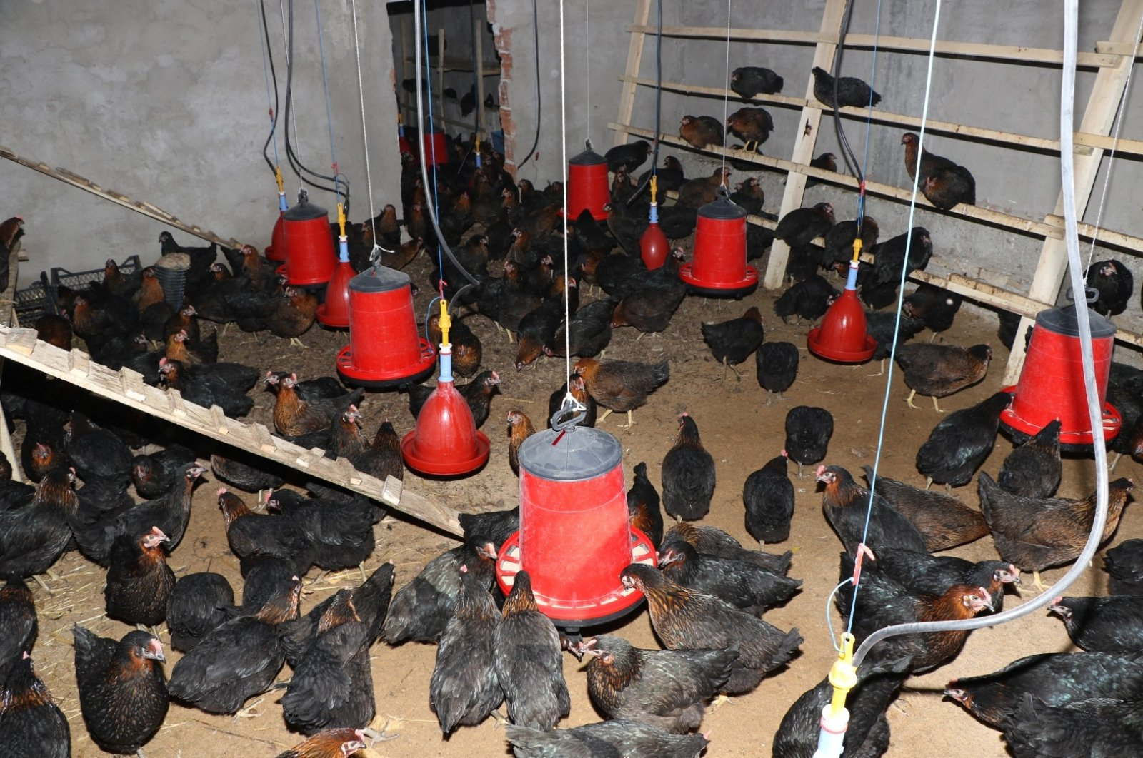 Chickens are seen at a farm in northwestern Kocaeli province, Turkey, April 11, 2020. (AA Photo)
