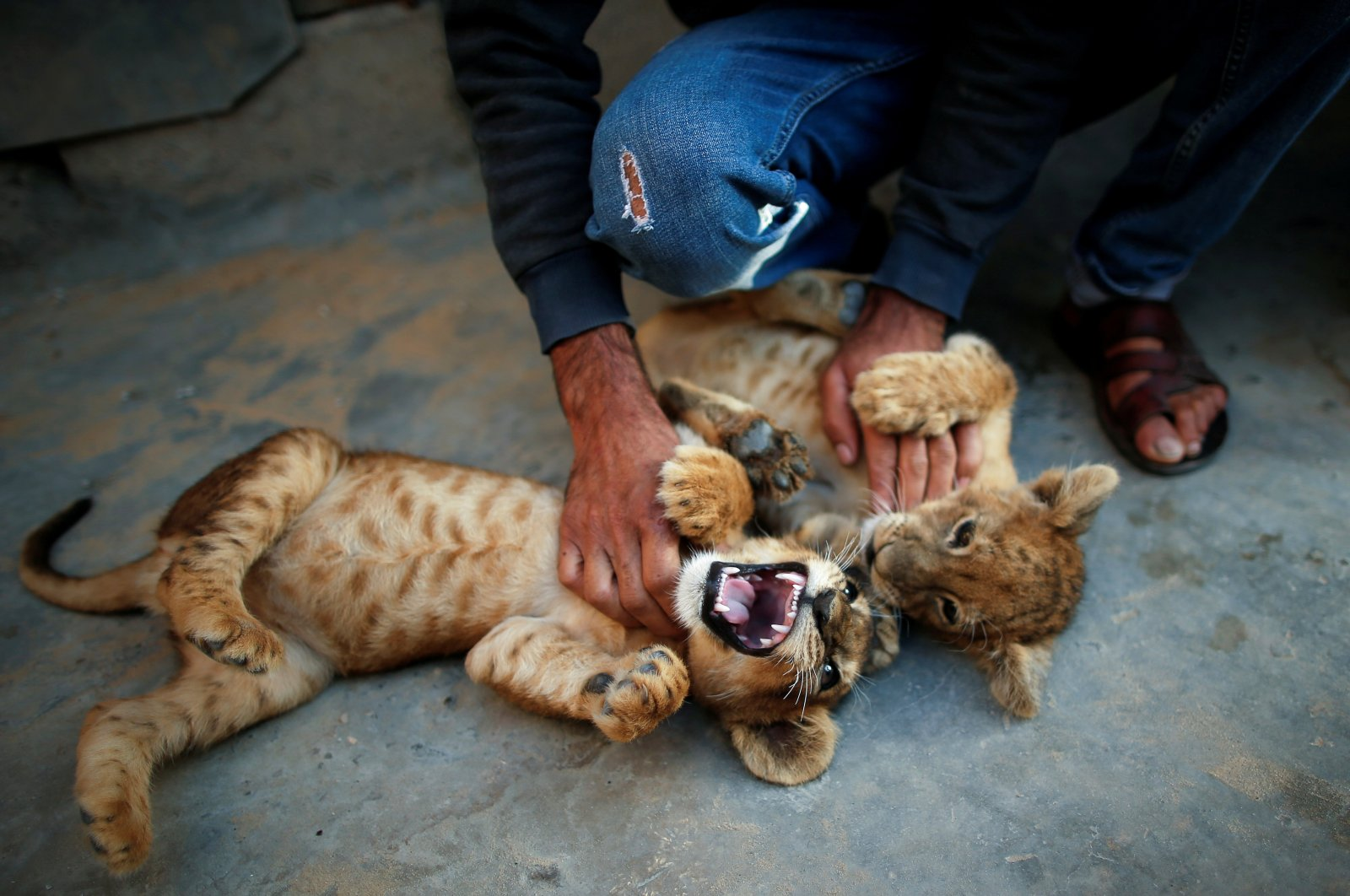 Palestinian man Naseem Abu Jamea plays with his pet lion cubs that he keeps on his house rooftop after buying them from a local zoo, in Khan Younis, in the southern Gaza Strip, Nov. 10, 2020. (Reuters Photo)