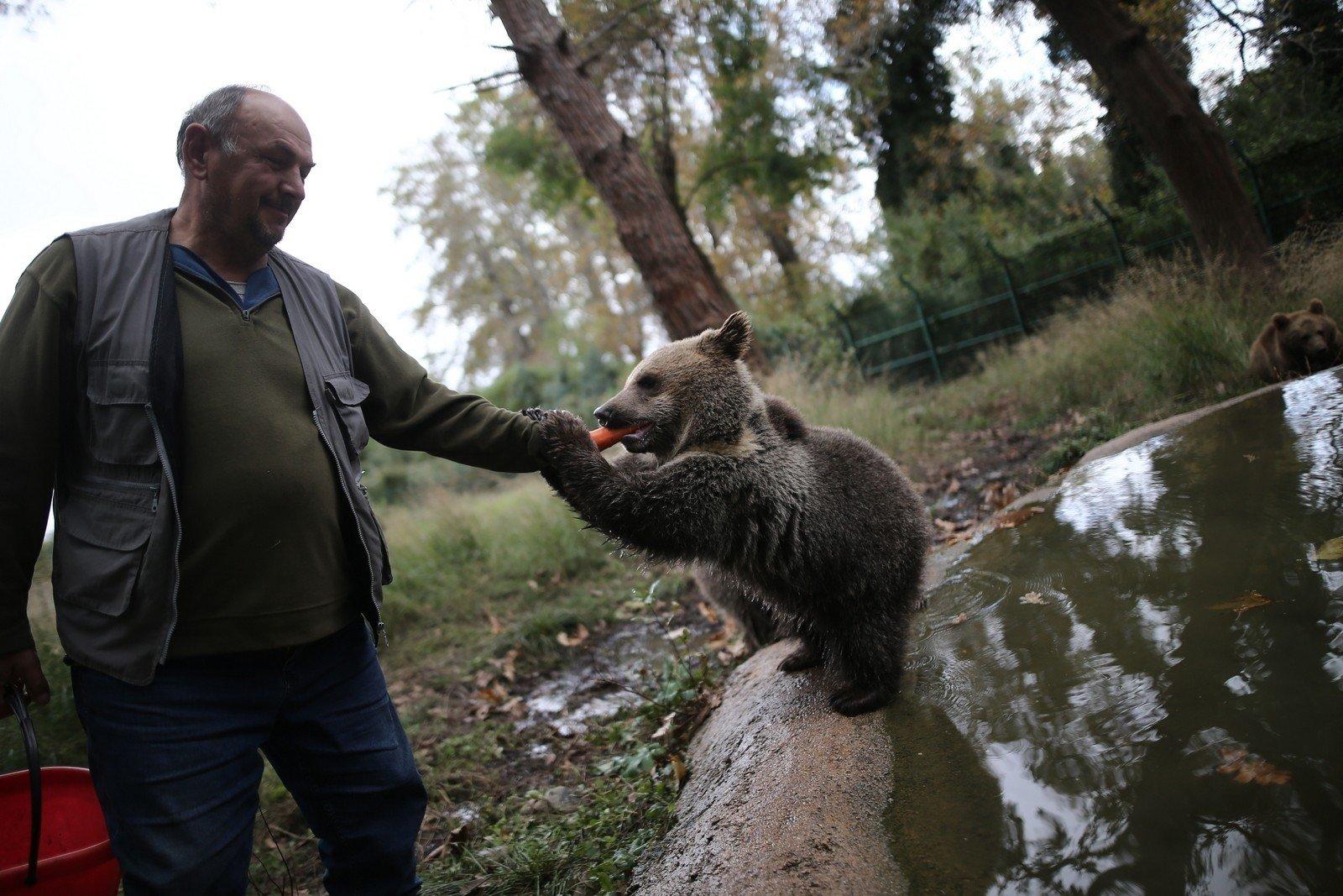 A cub holds the hand of his keeper as he feeds him a carrot, in Bursa, northwestern Turkey, Nov. 12, 2020. (IHA Photo)