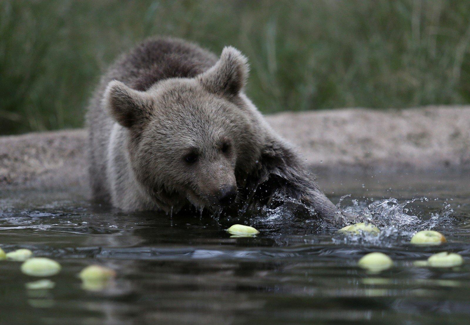 A cub tries to grab an apple fell into a pond at the shelter, in Bursa, northwestern Turkey, Nov. 12, 2020. (İHA Photo)