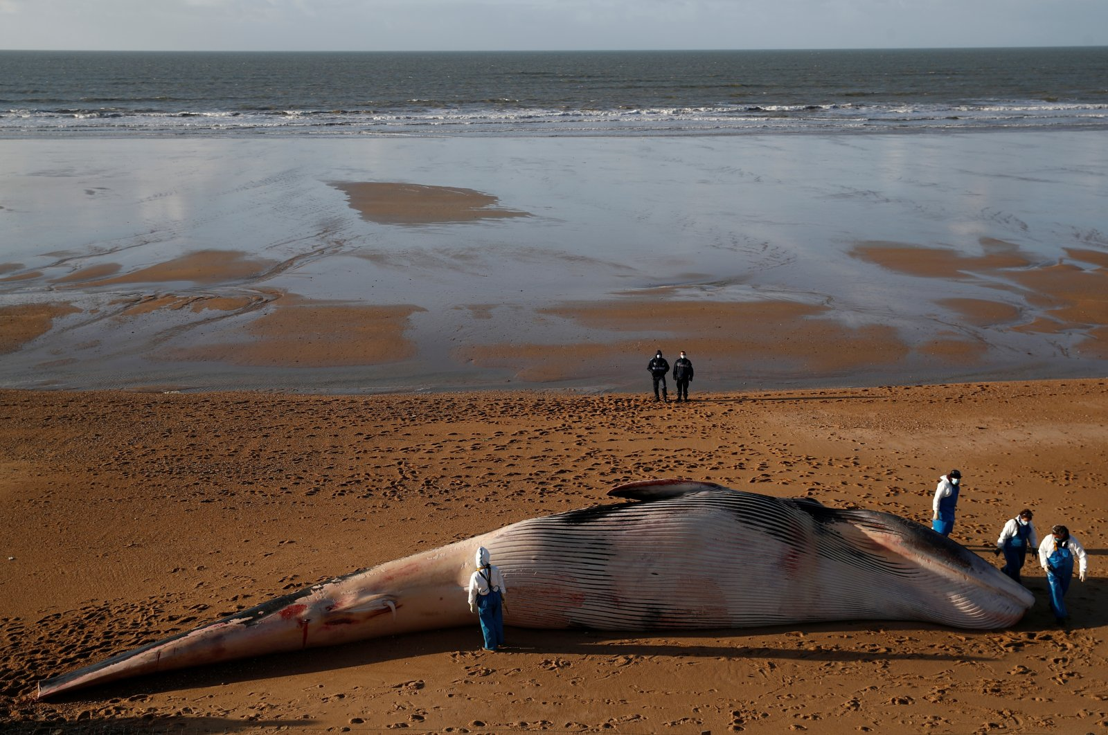 Experts at the Observatoire Pelagis examine the dead body of a fin whale which was found stranded on a beach in Saint-Hilaire-de-Rietz, France, Nov. 16, 2020. (Reuters Photo)