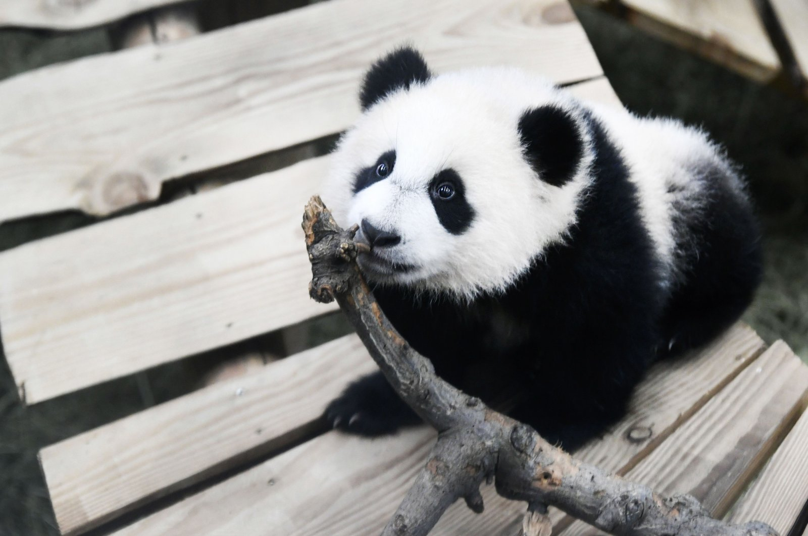 Fan Xing reacts in his indoor enclosure at Ouwehands Zoo in Rhenen, The Netherlands, on Nov. 19, 2020. (AFP Photo)