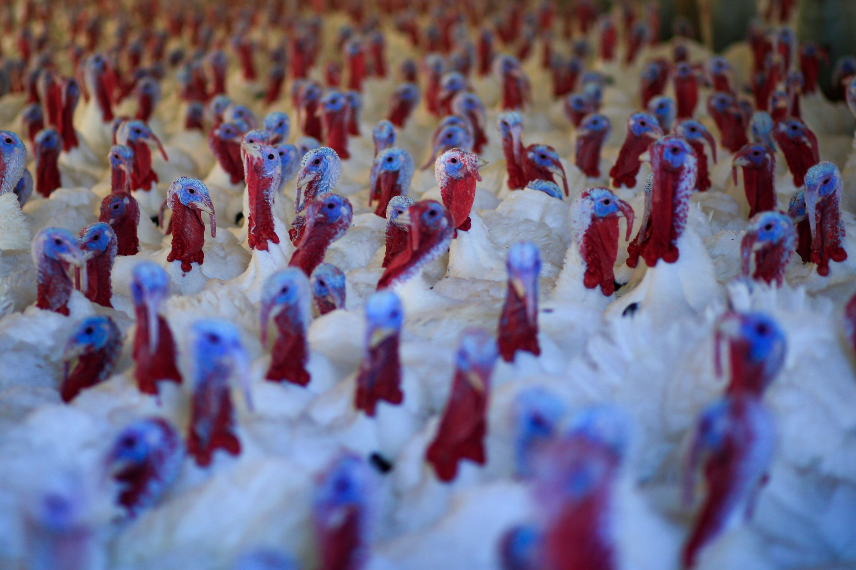 Turkeys are seen at a farm in Orefield, Pennsylvania, on November 20, 2020, ahead of the Thanksgiving holiday. (AFP Photo)