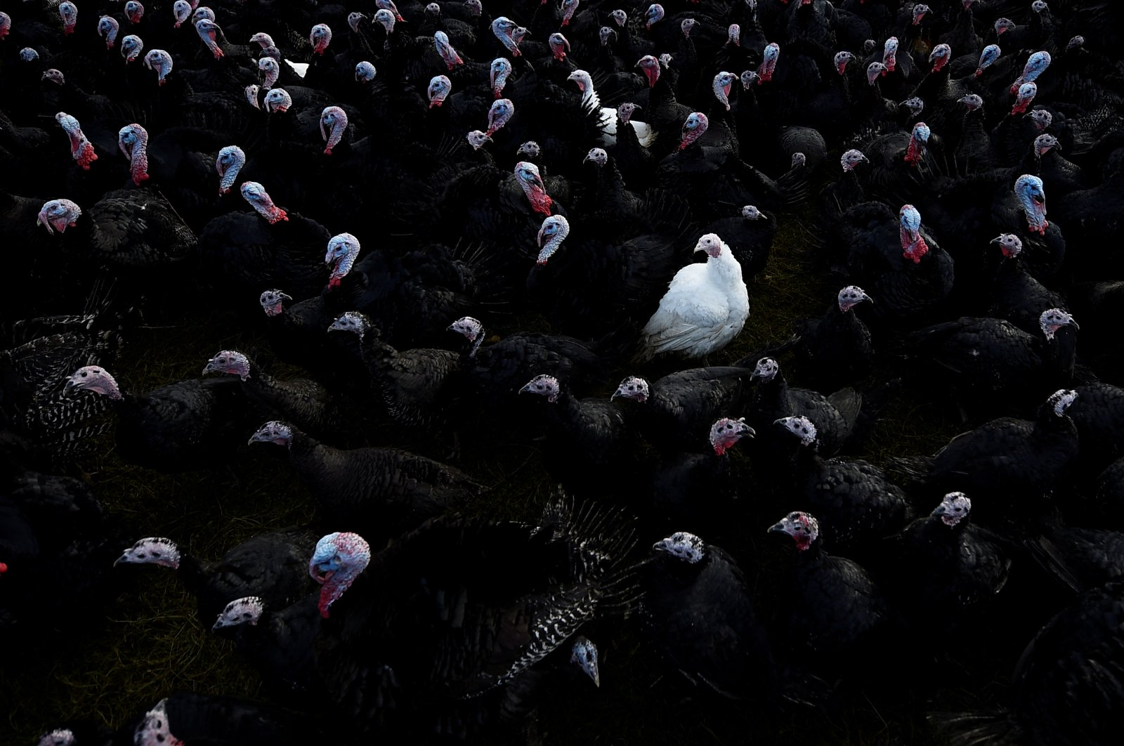A white bronze turkey is seen amongst Norfolk black turkeys hatched in June and raised free-range for Christmas on a farm in Termonfeckin, Ireland, November 26, 2017. (REUTERS Photo)