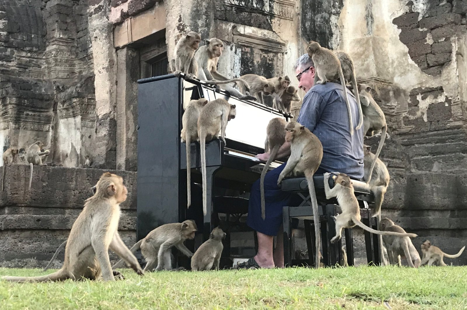 British musician Paul Barton plays the piano for monkeys that occupy abandoned historical areas in Lopburi, Thailand, Nov. 21, 2020. (Reuters photo)