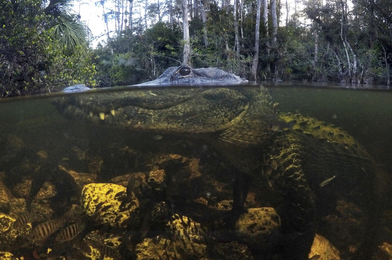 An alligator prowls the waters in the Big Cypress National Preserve in Florida, Oct. 30, 2019. (AP Photo)