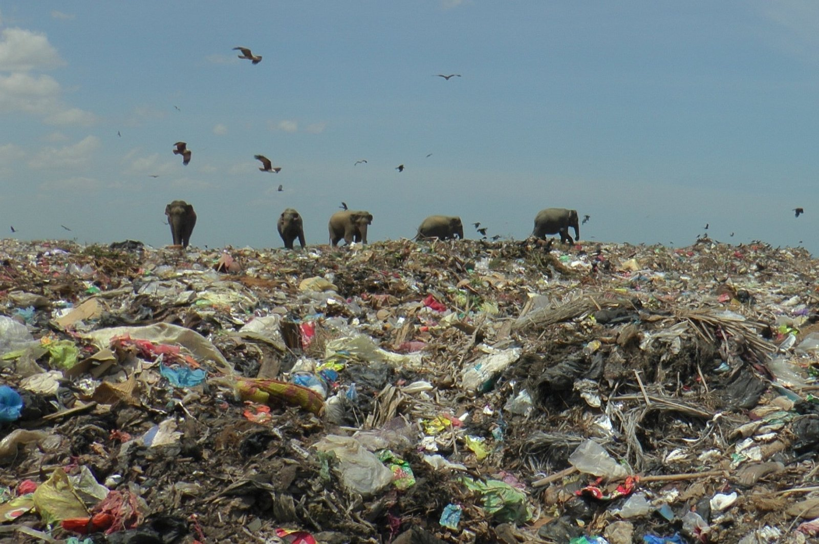 Wild elephants are seen at a garbage landfill near the eastern town of Ampara in Sri Lanka, Oct. 4, 2020. (Reuters Photo)